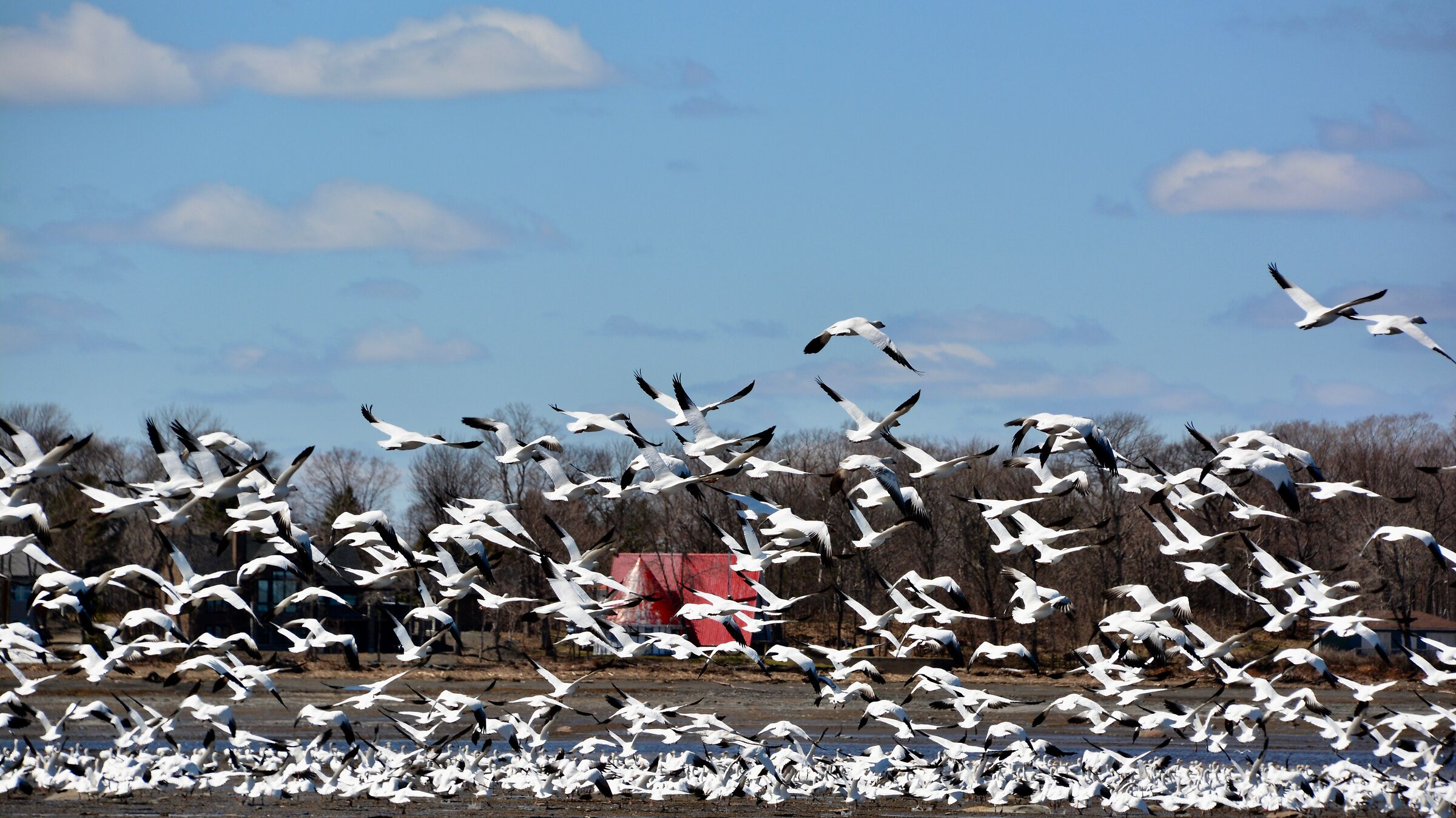The geese arrived in the suburbs ''St-Vallier'' Quebec...