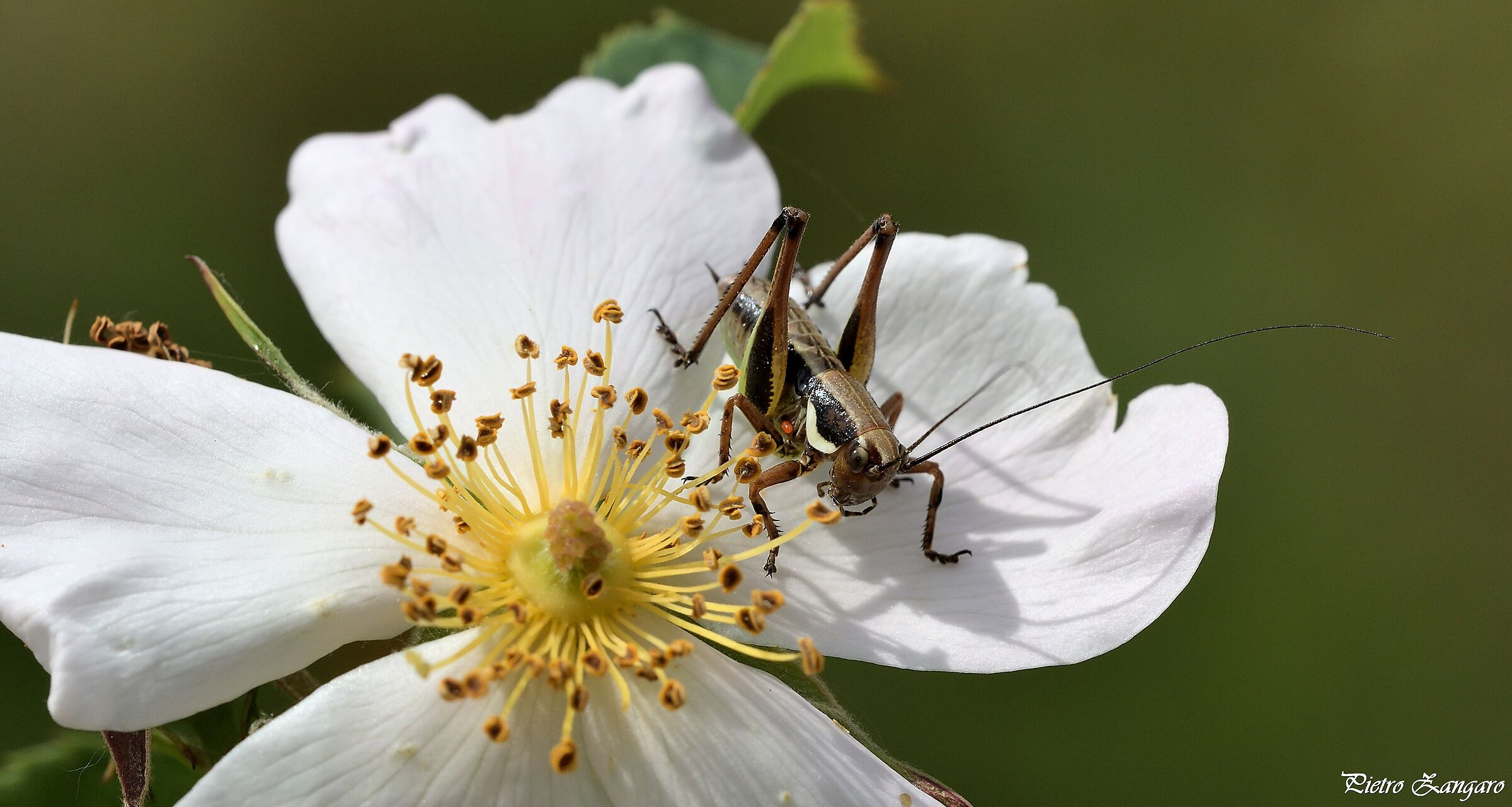 Rosa Sempervirens with Guest...