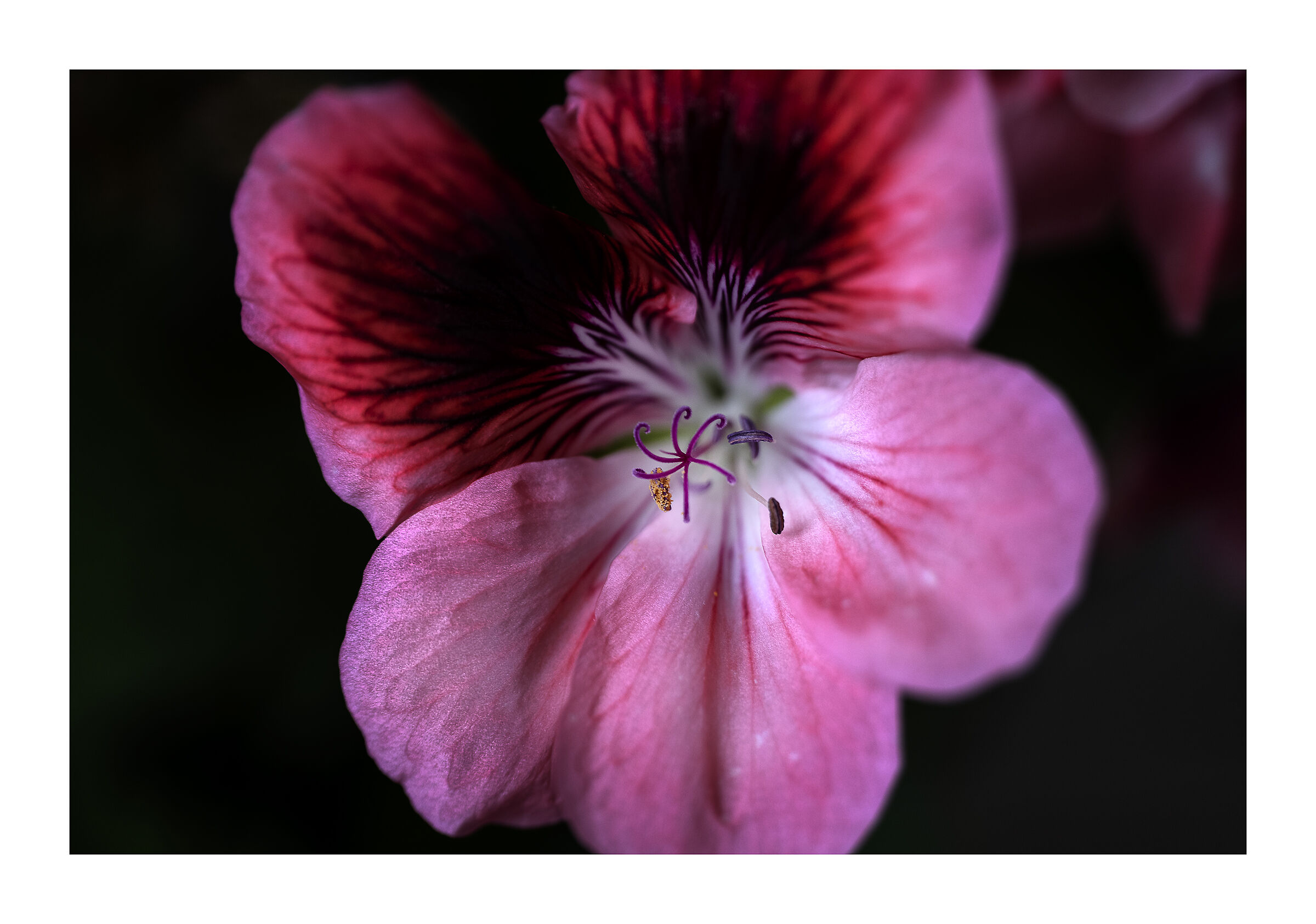 Detail of geranium......