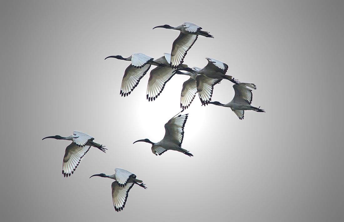 Sacred Ibis...