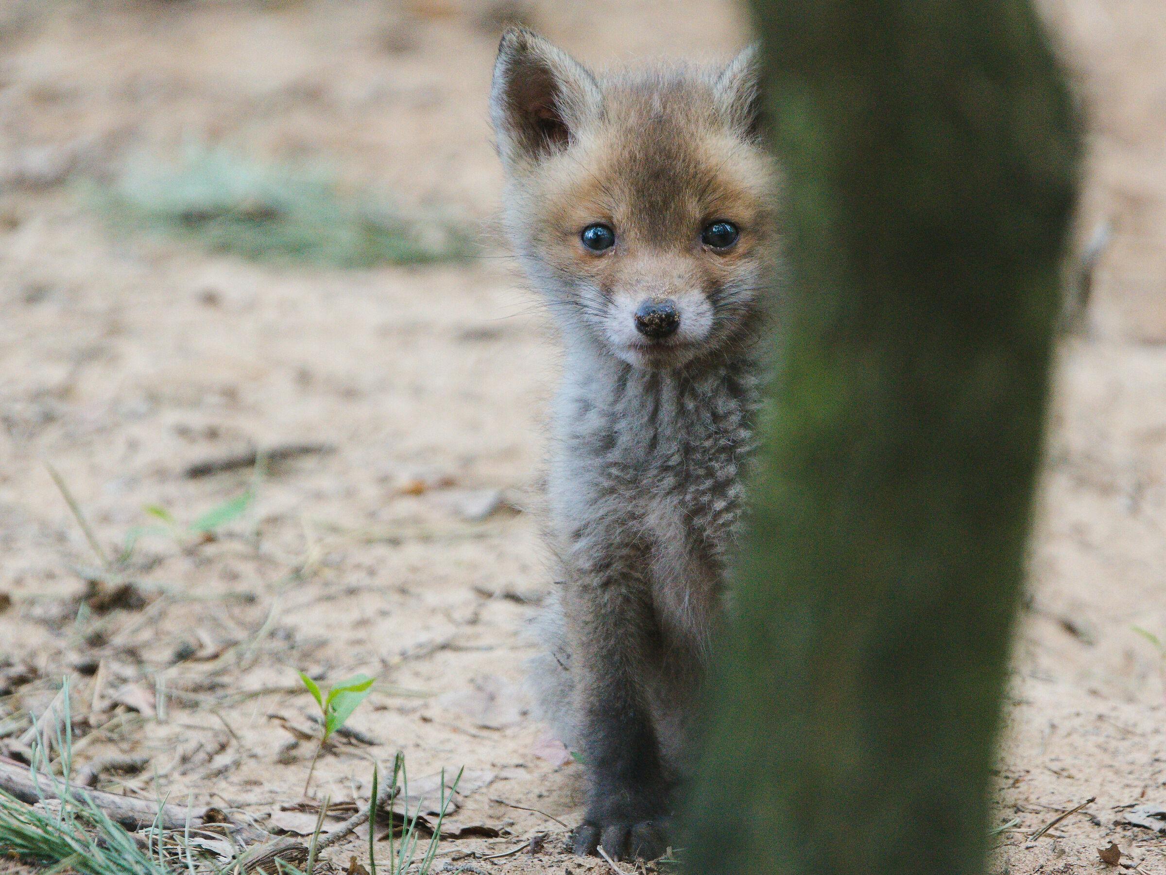 Red fox (Vulpes vulpes)...