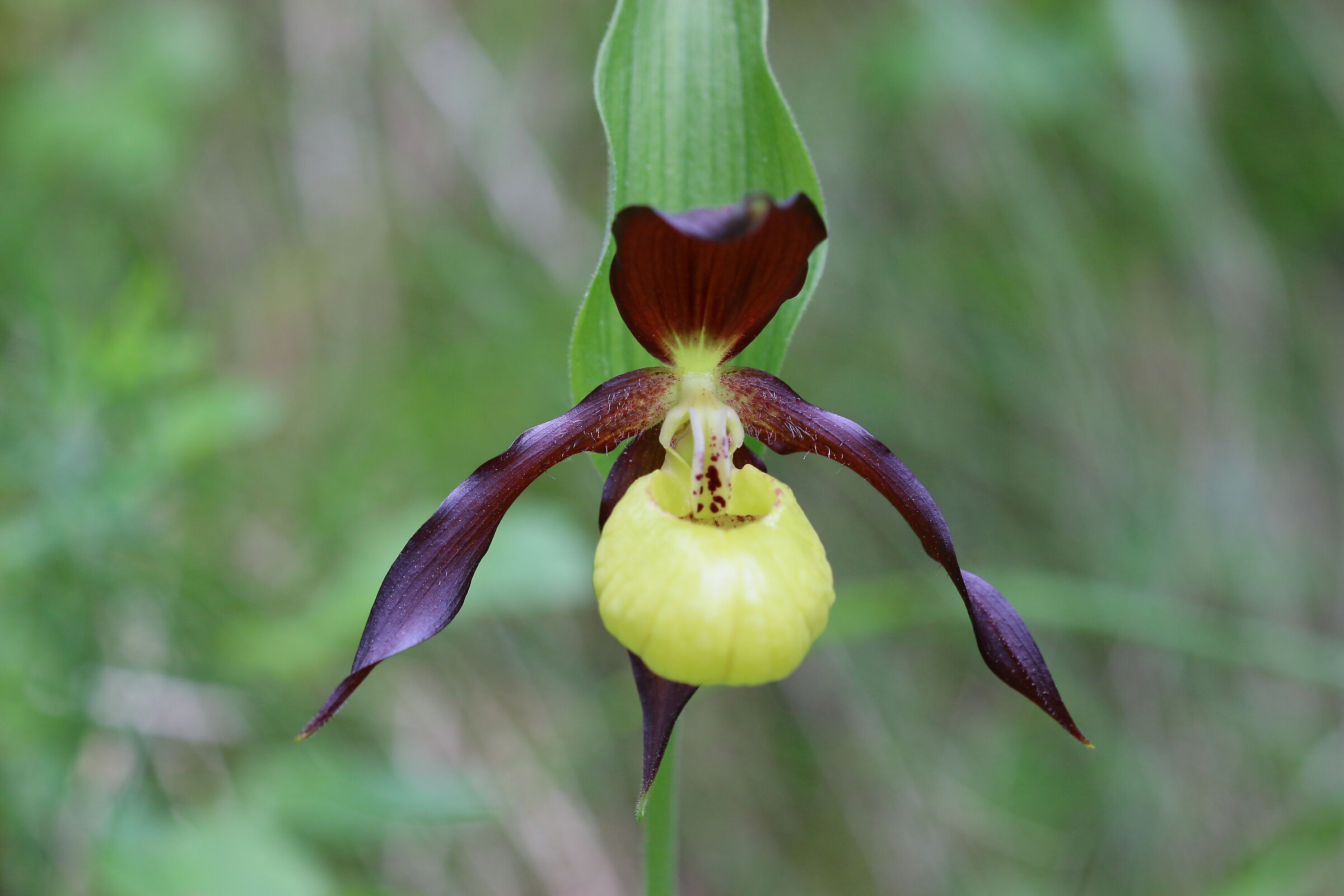 Cypripedium calceolus...