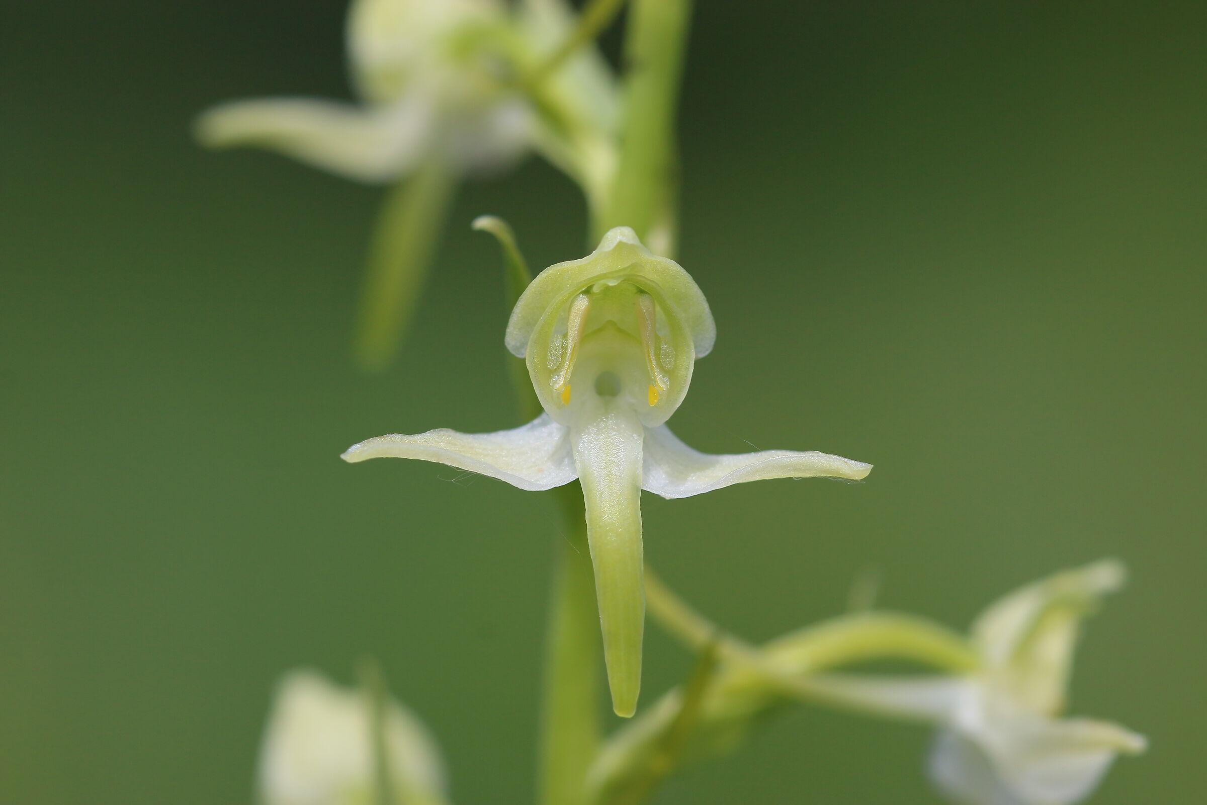 Platanthera clorantha...