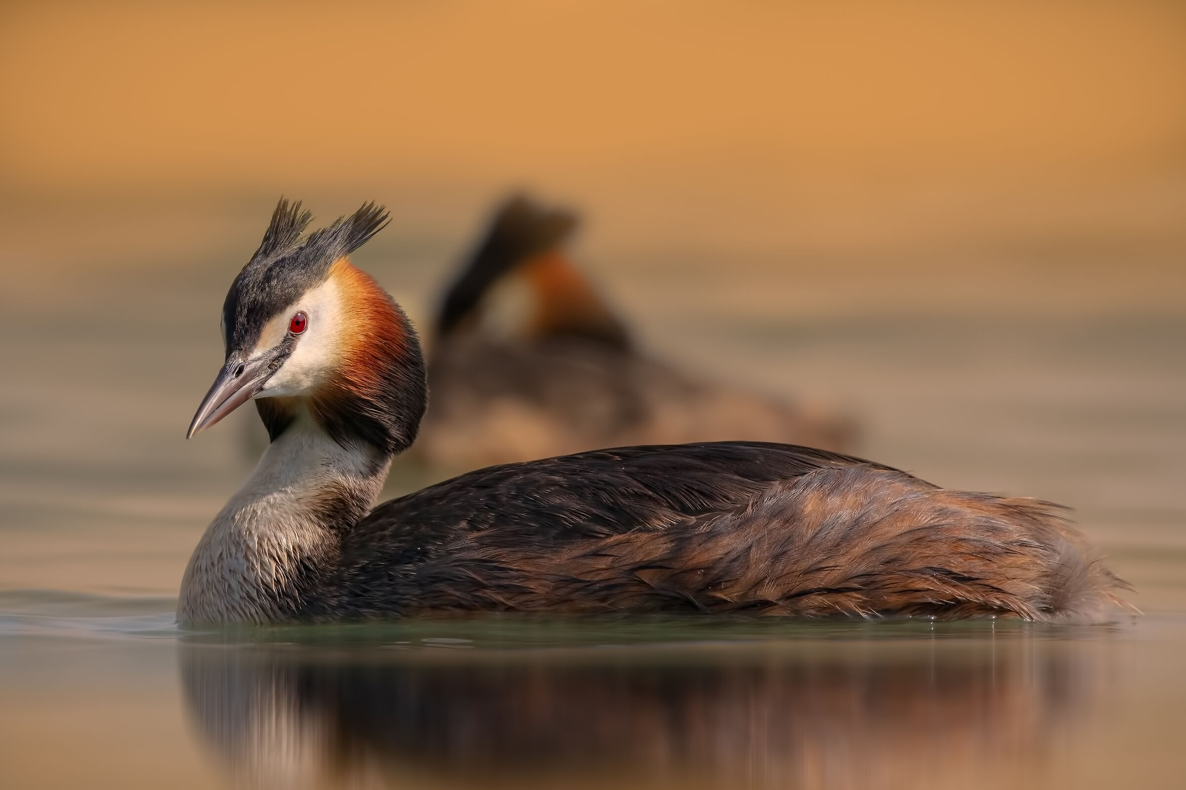 Major Crested Grebe...