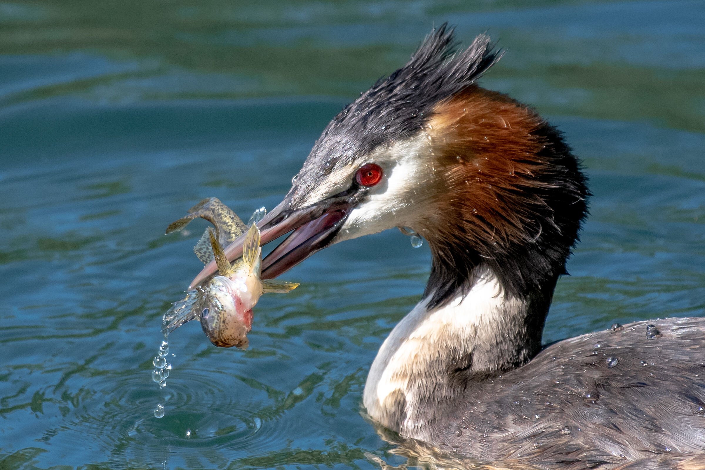 Grebe with Catch...