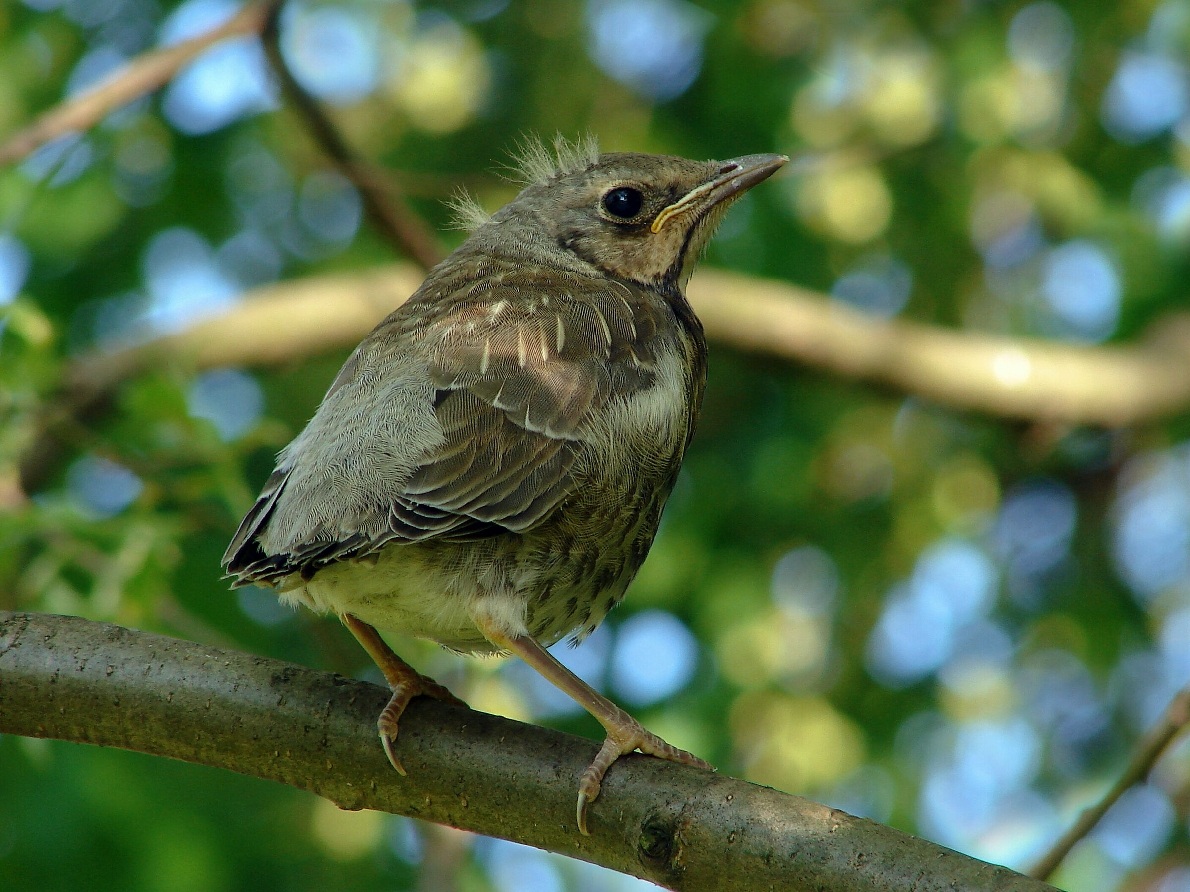 Kwiczol (Turdus pilaris) - young...