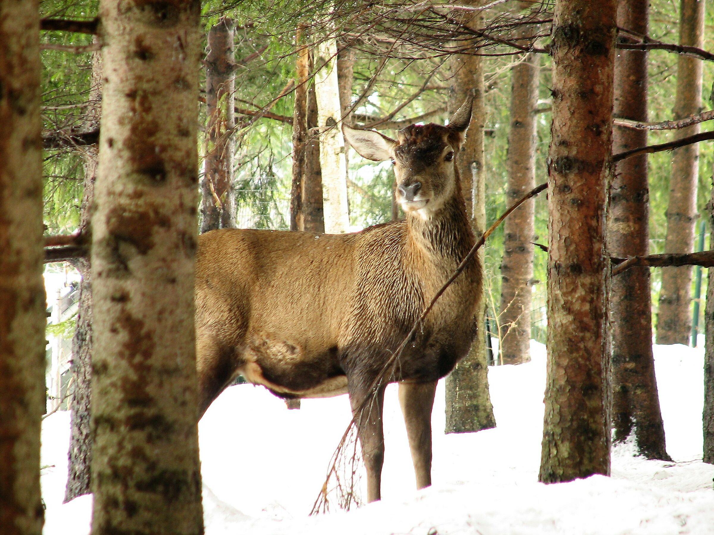 Cervo maschio...