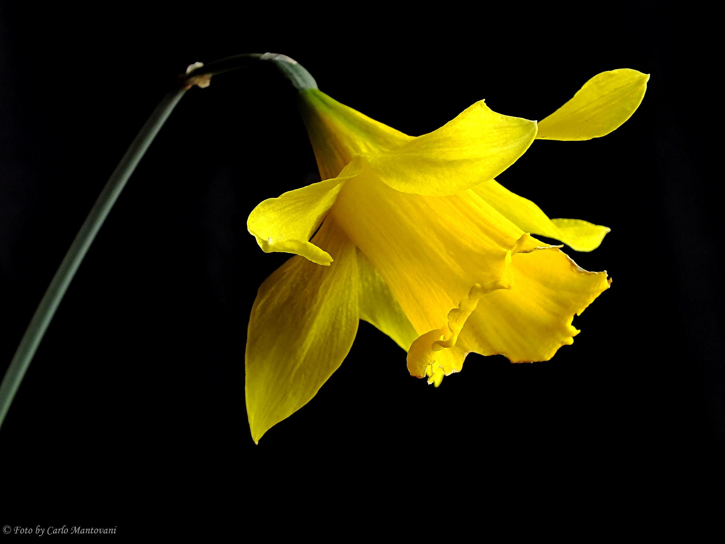 Narciso (0387)...