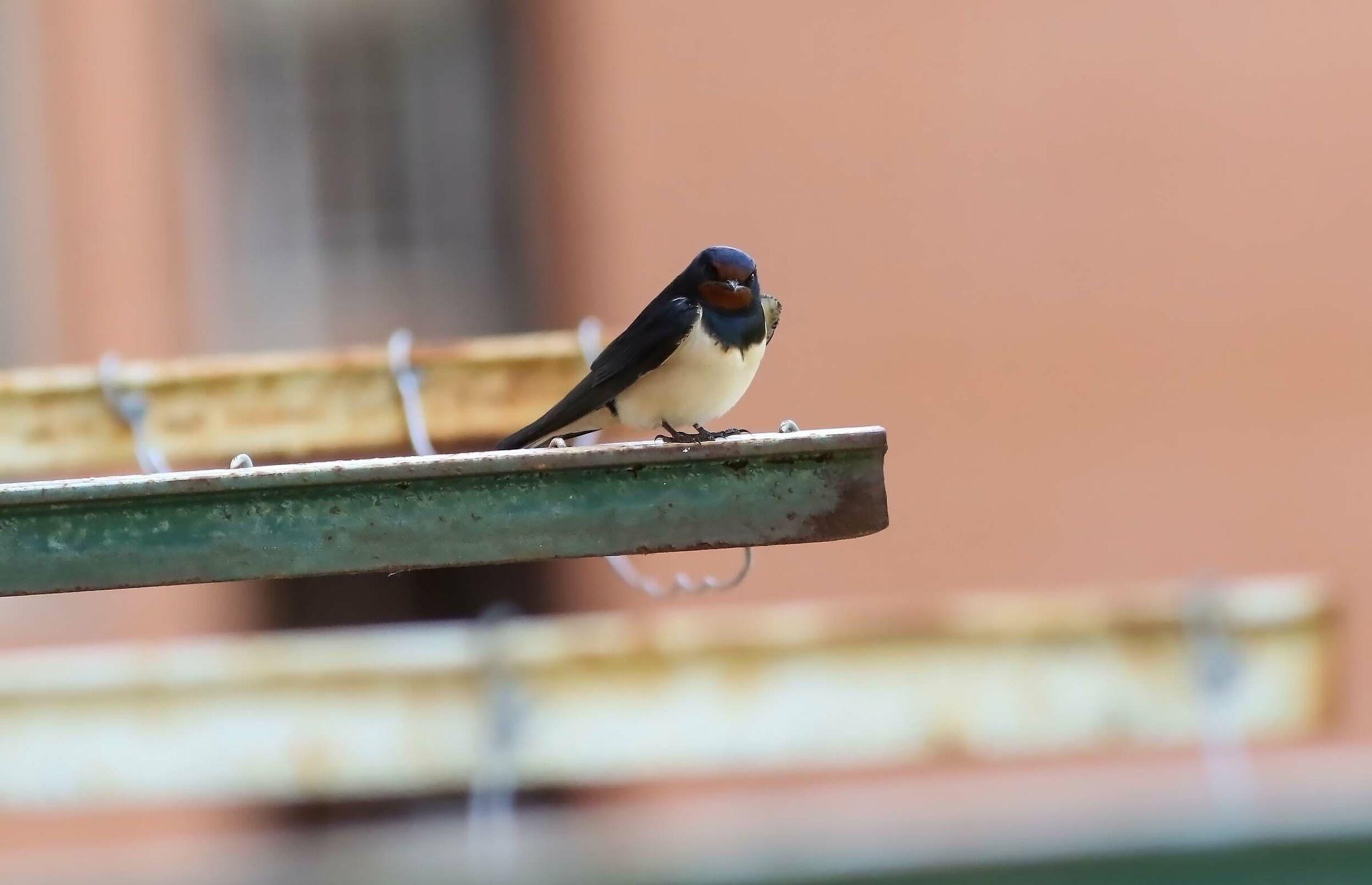 Swallow ...