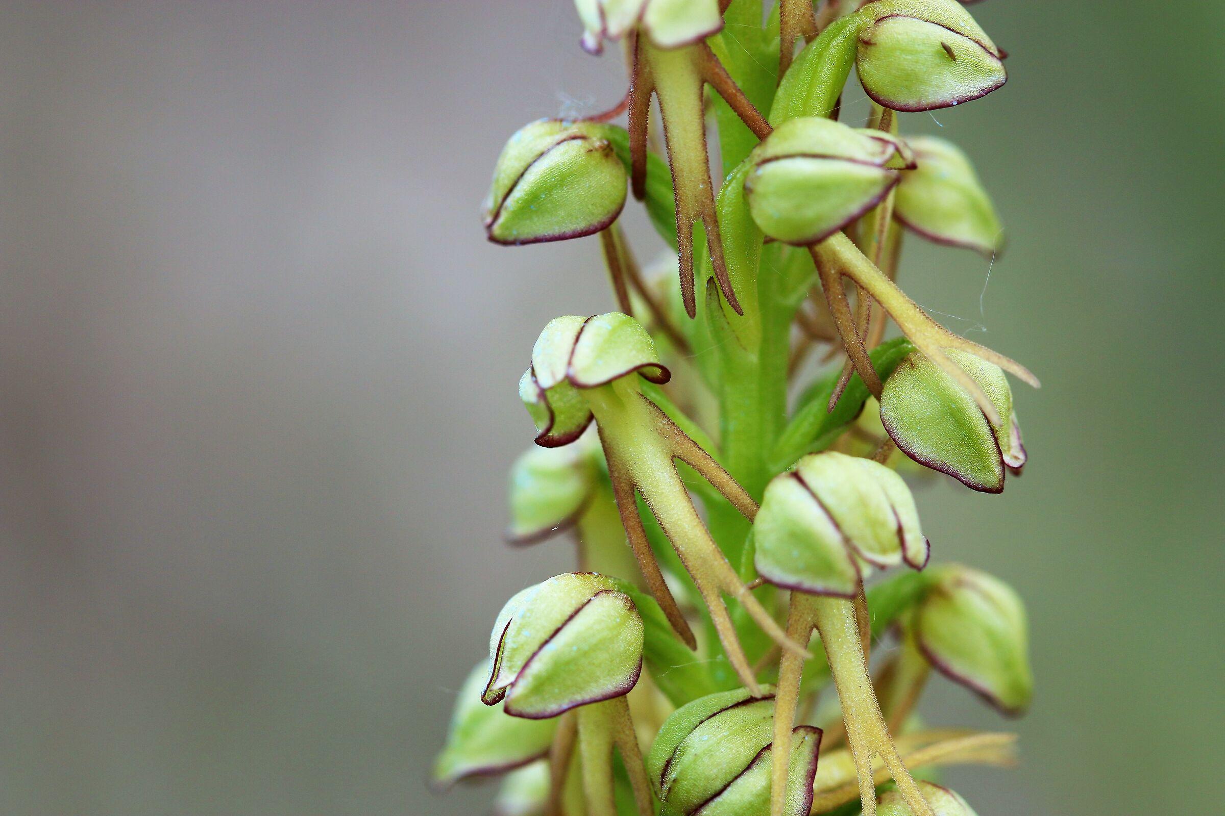 Orchis anthropophora...