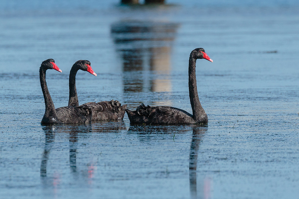 Black Swans...