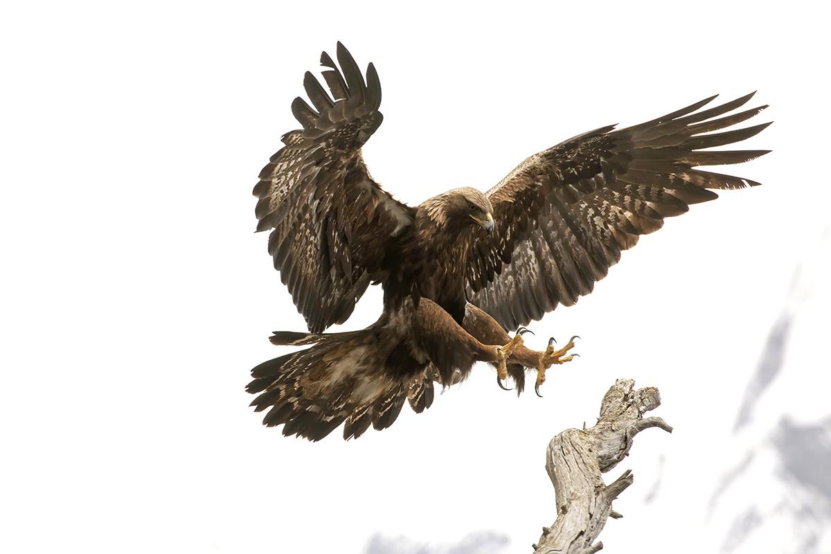 Royal Eagle-Italian Alps-...