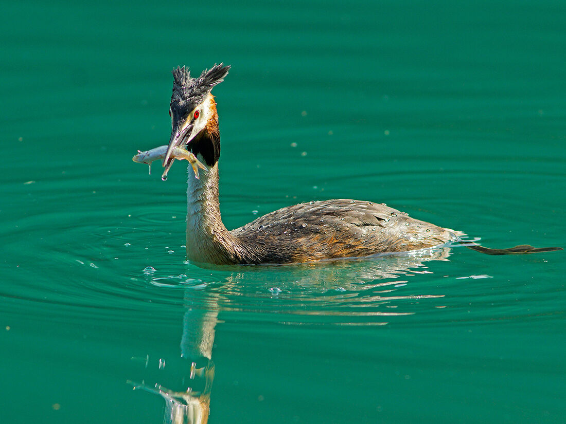 Grebe with Lunch...