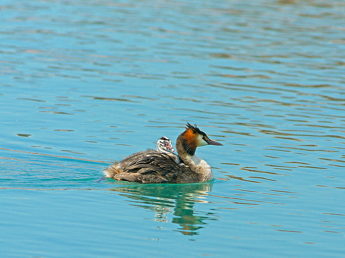 Grebe with passenger...