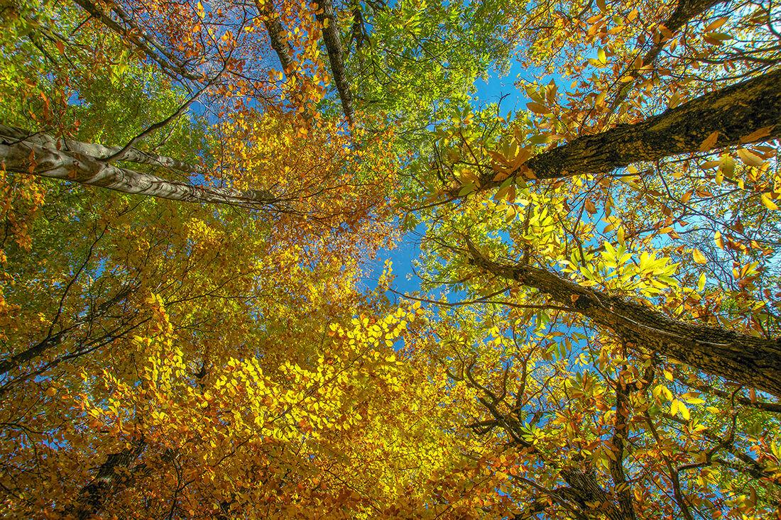 Chestnut in autumn dress...
