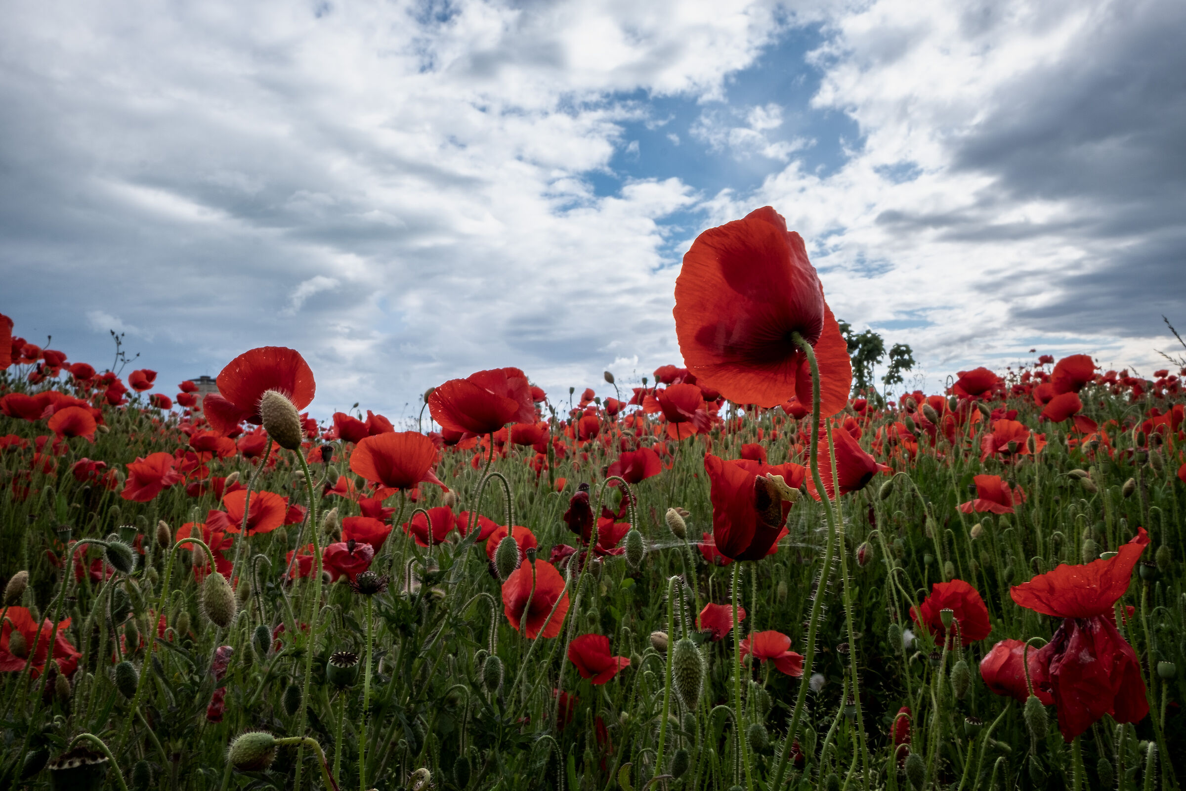 The field of poppies...