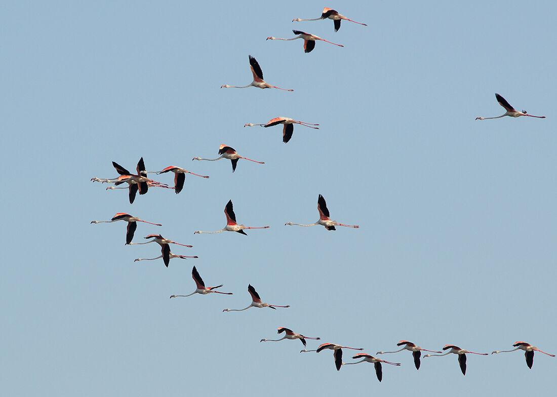Flamingos flight...
