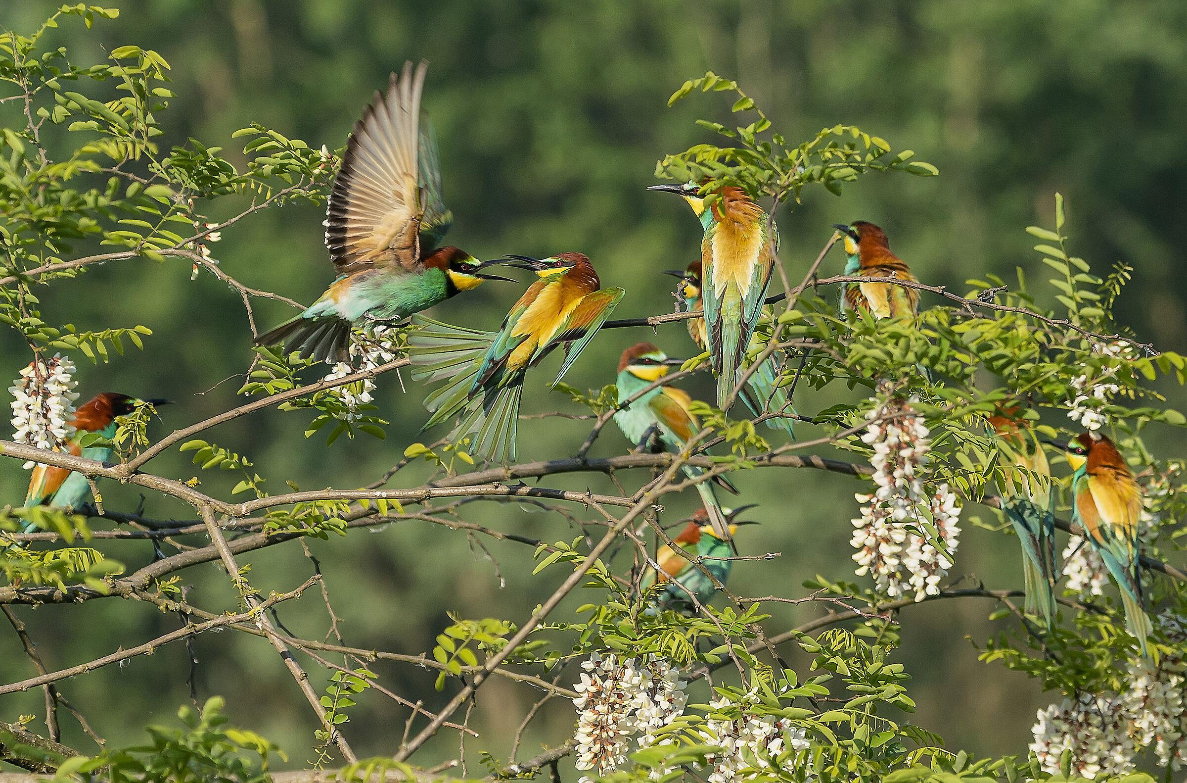 Skirmishes between bee-eaters...