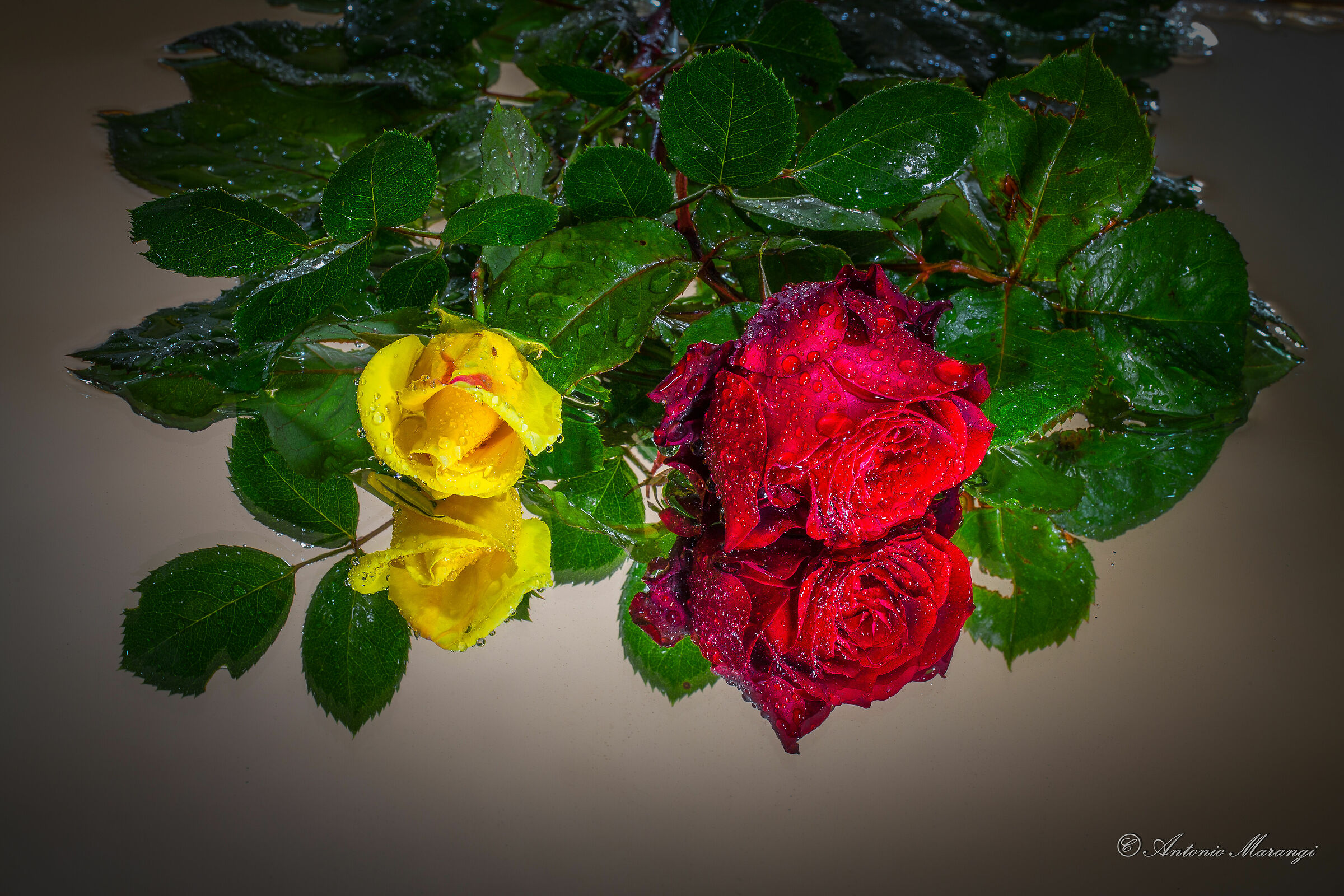 The Roses...