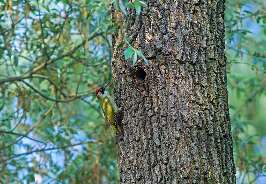 Green Woodpeckers waiting for the change...