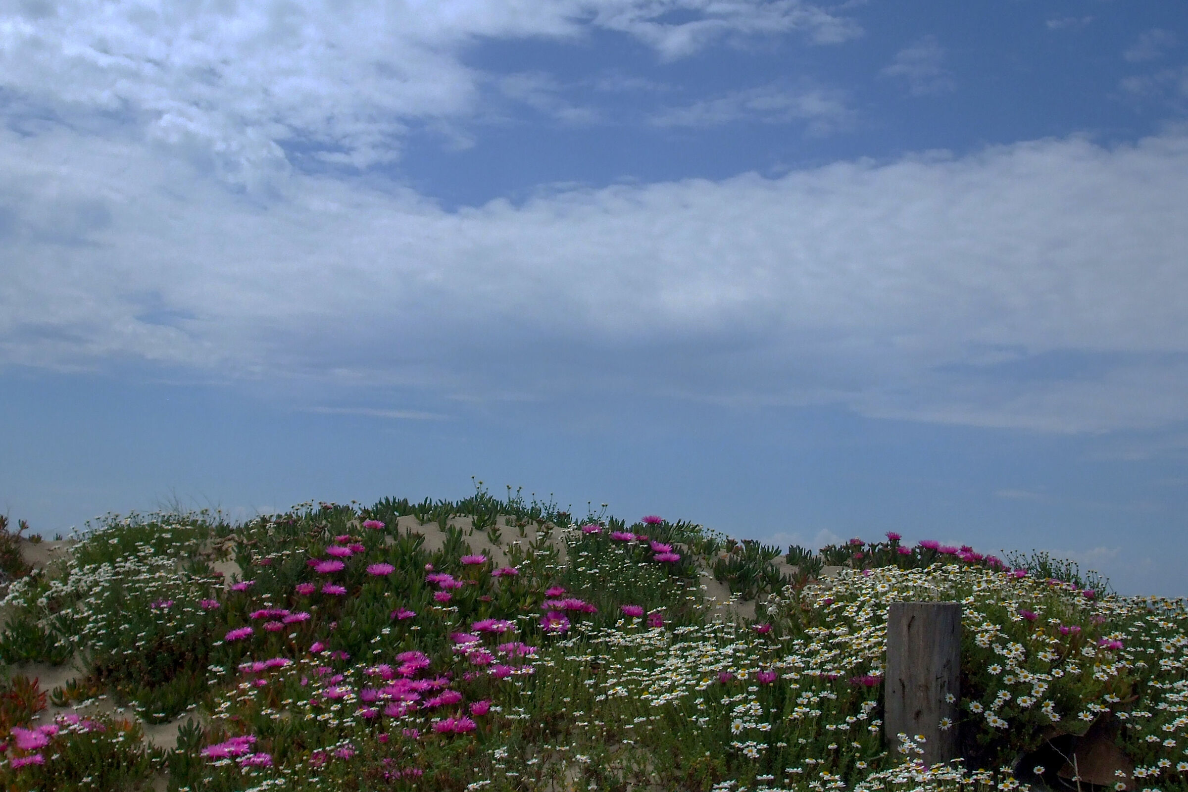 Blooms on Mondragone Dunes...