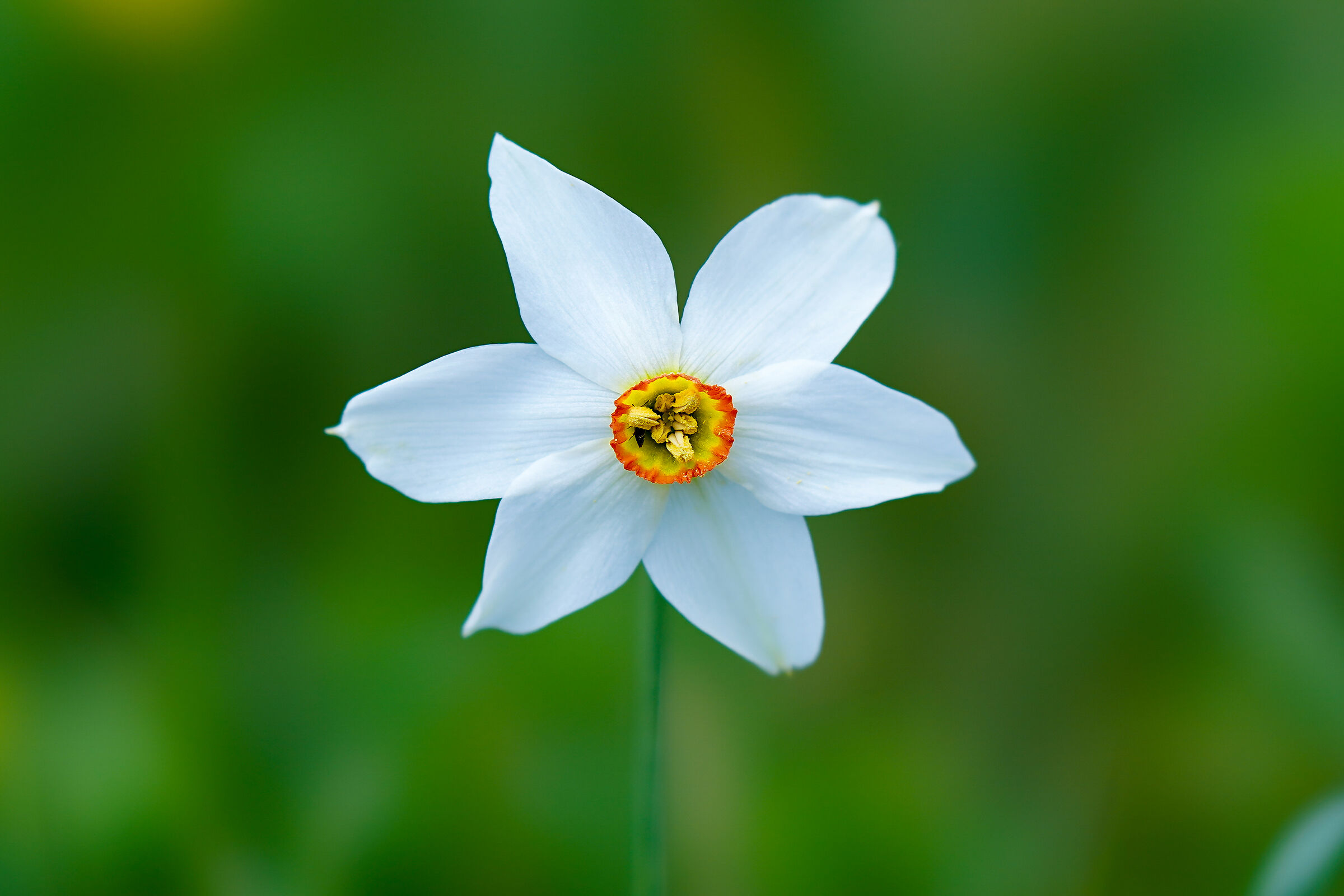 The simple beauty of a Narcissus...