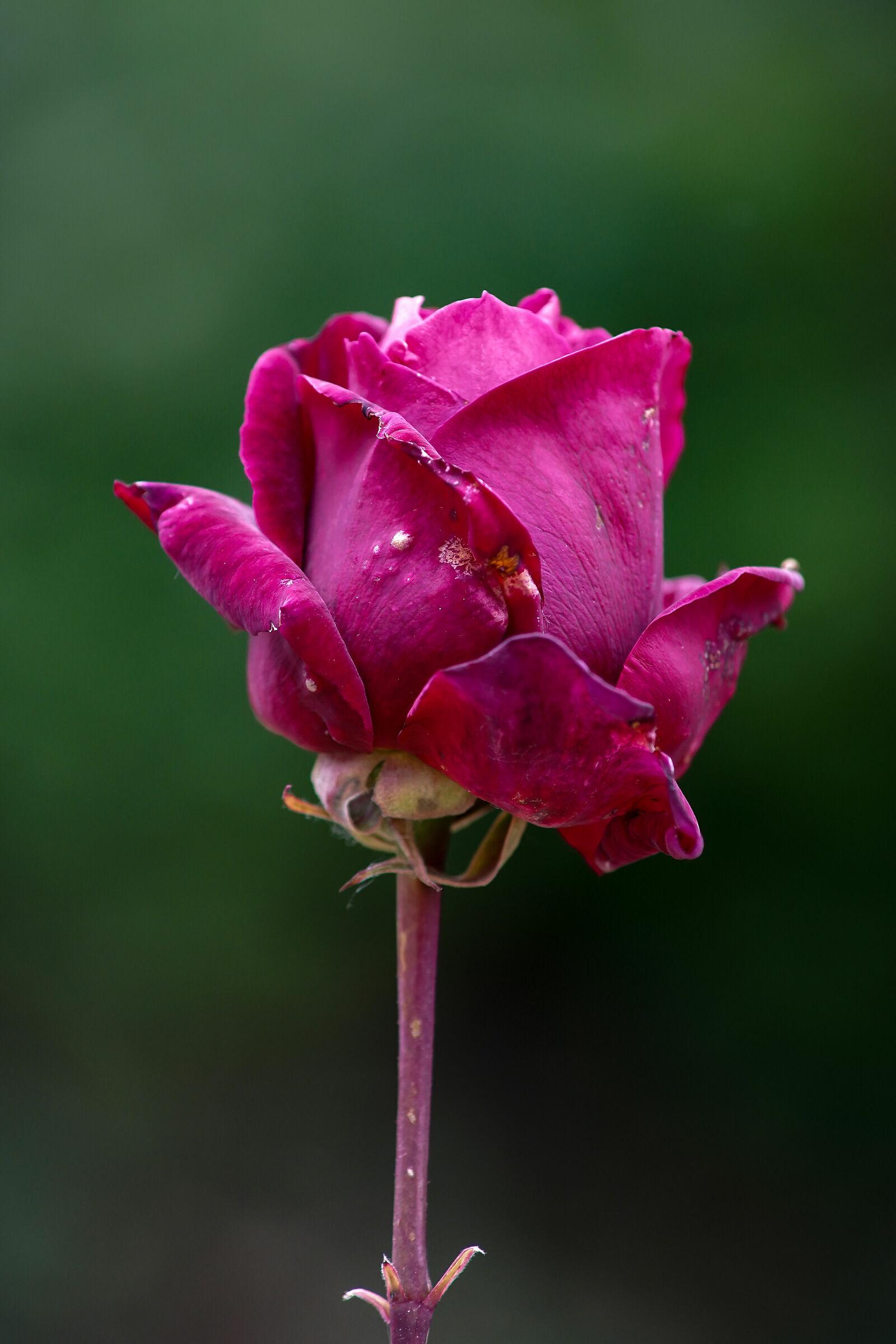 ... A rose a little worn......