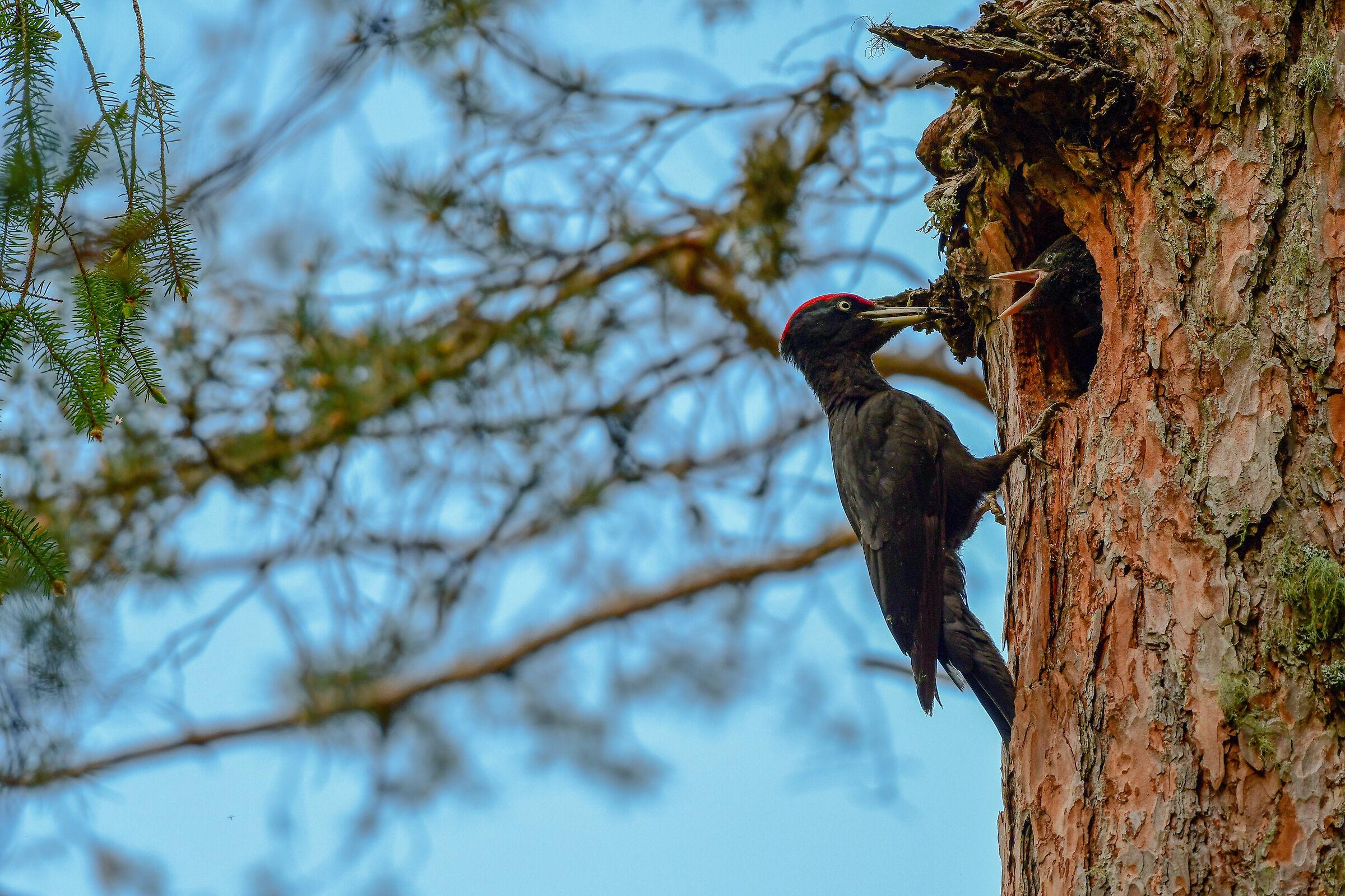 Black Woodpeckers...