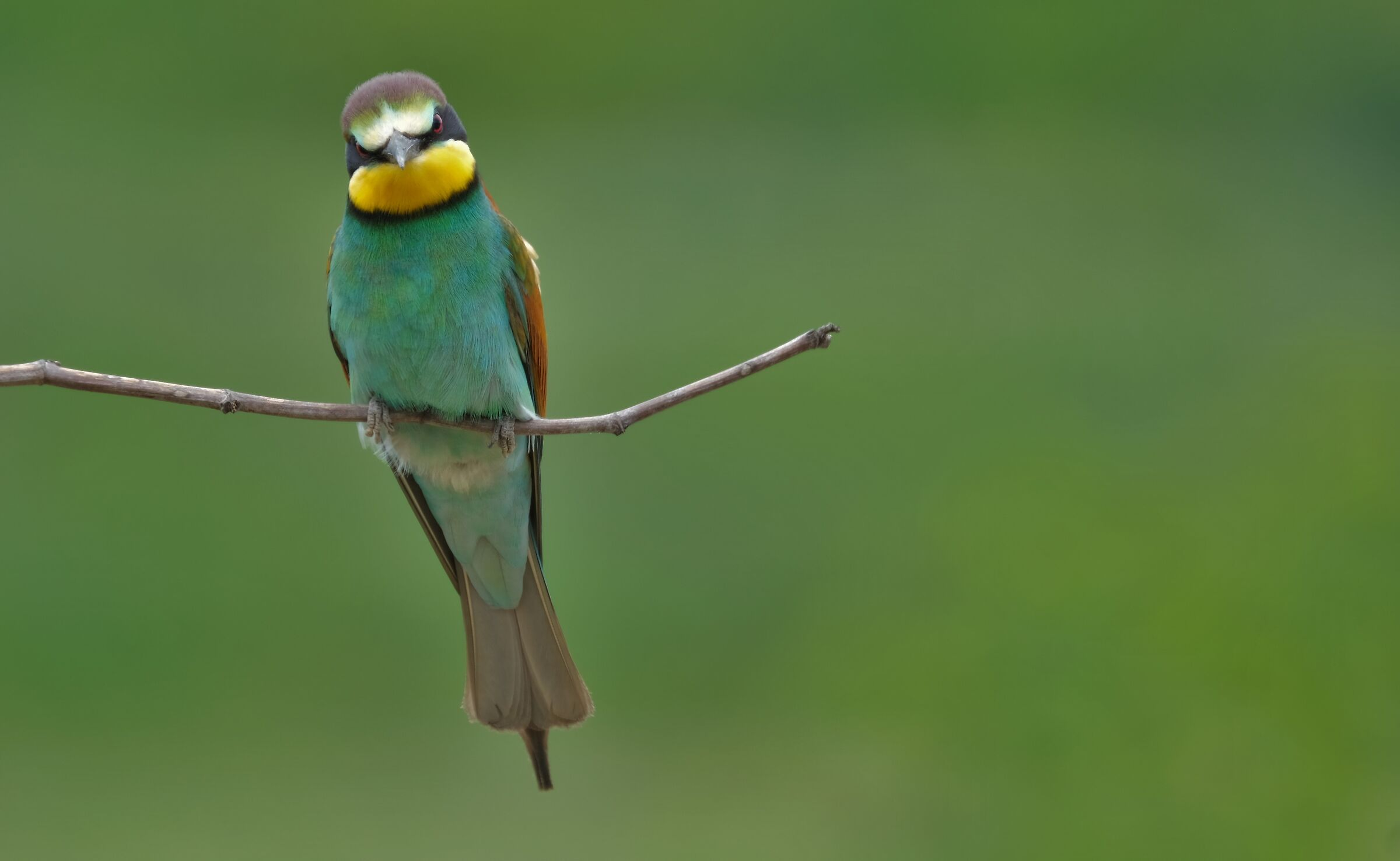 Angry Bee-eater...