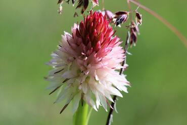 Nigritella corneliana