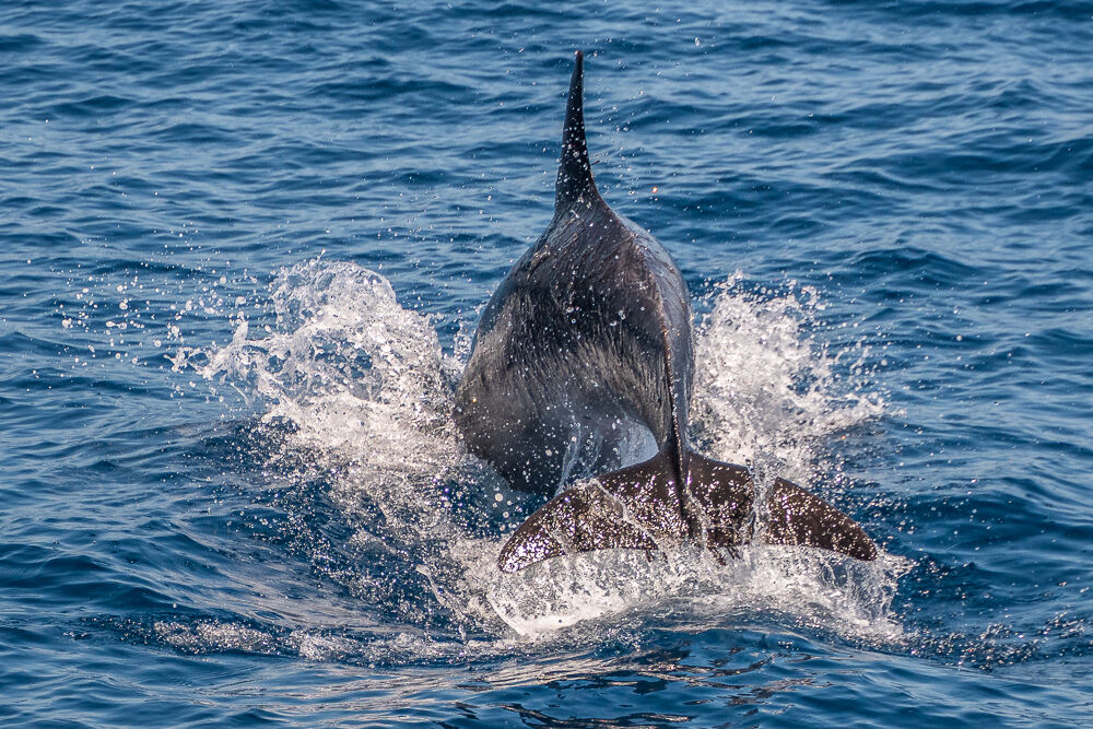 Diving Dolphin...