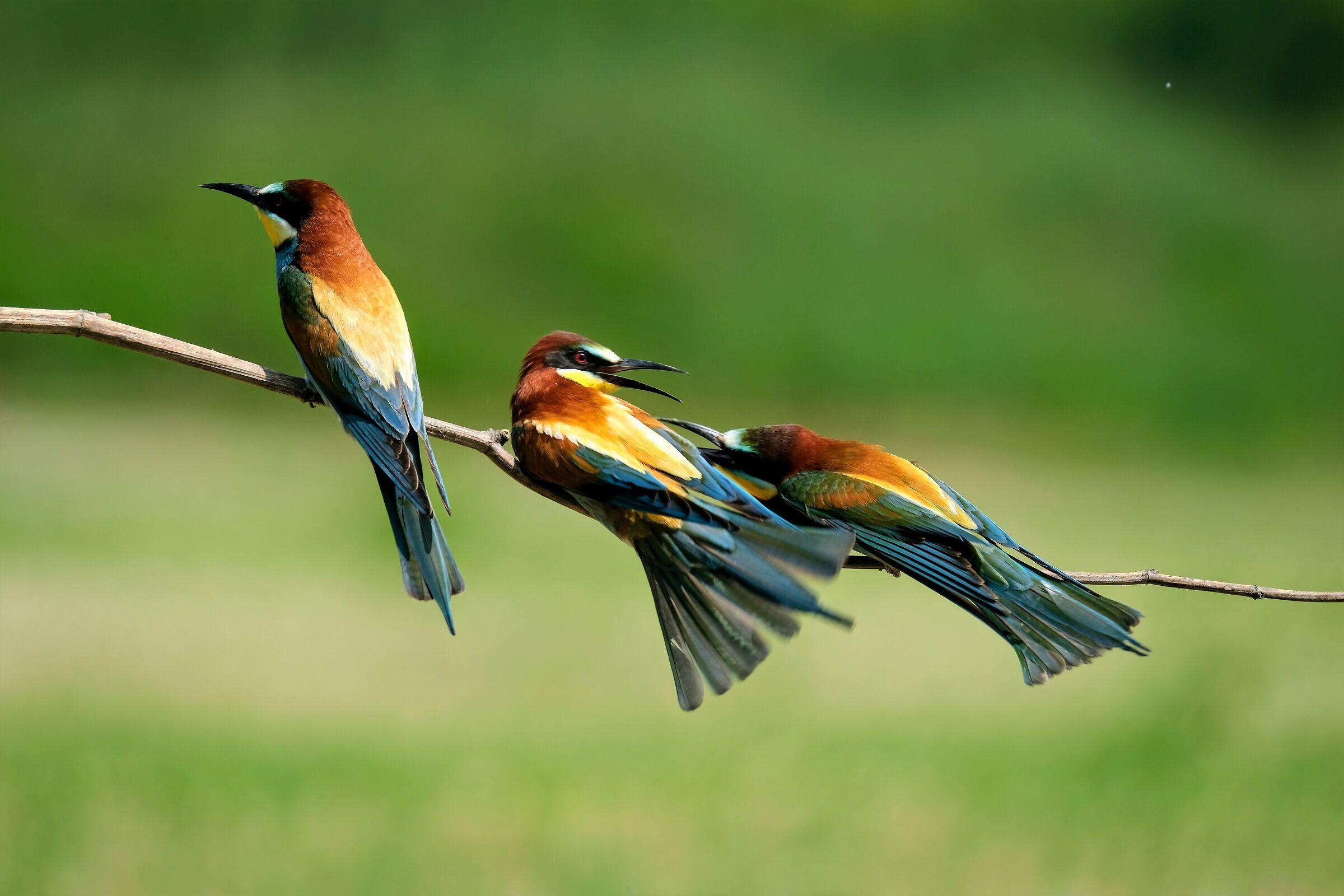 Normal exchange of ideas between bee-eaters...