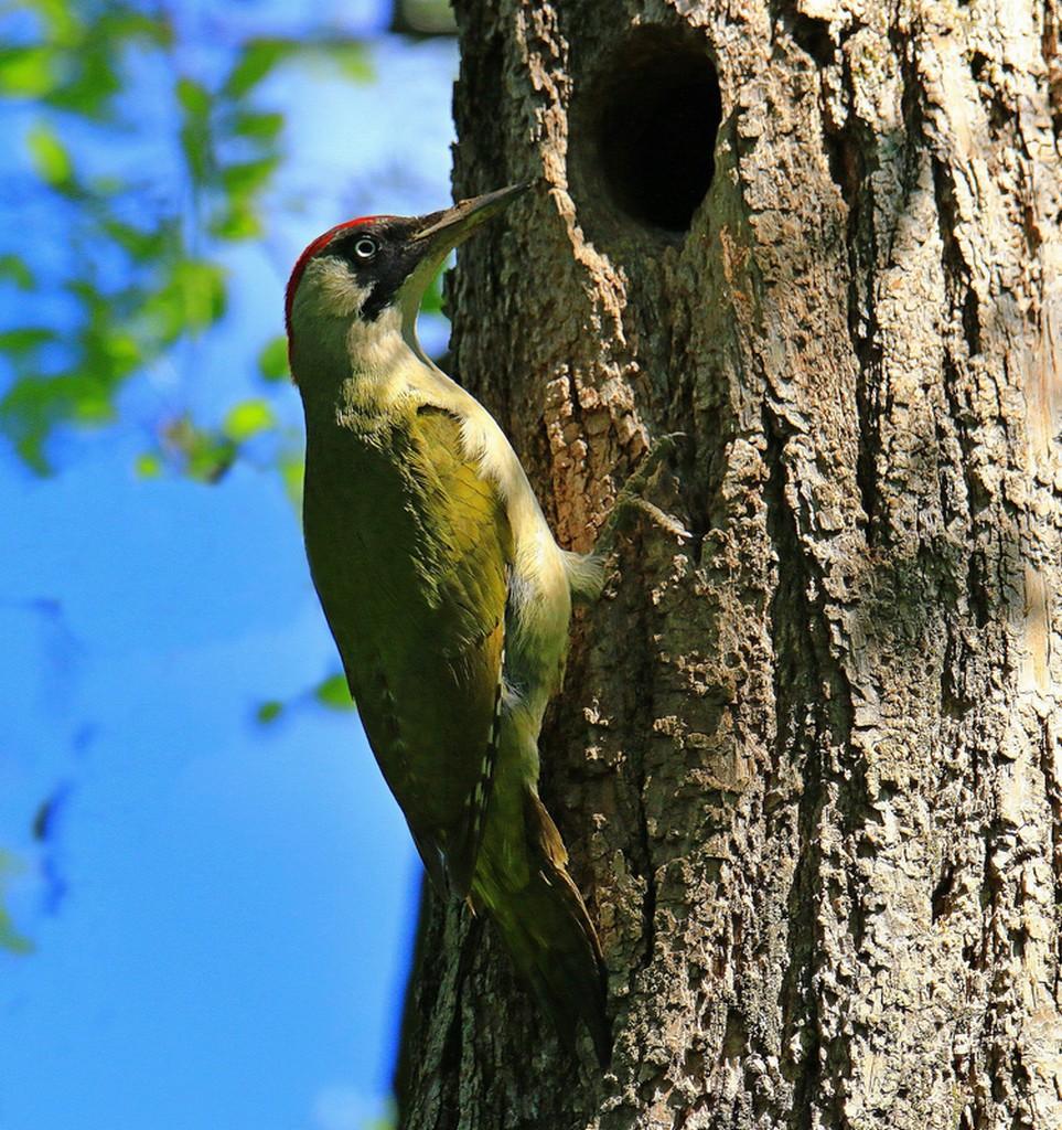 Green Woodpeckers...