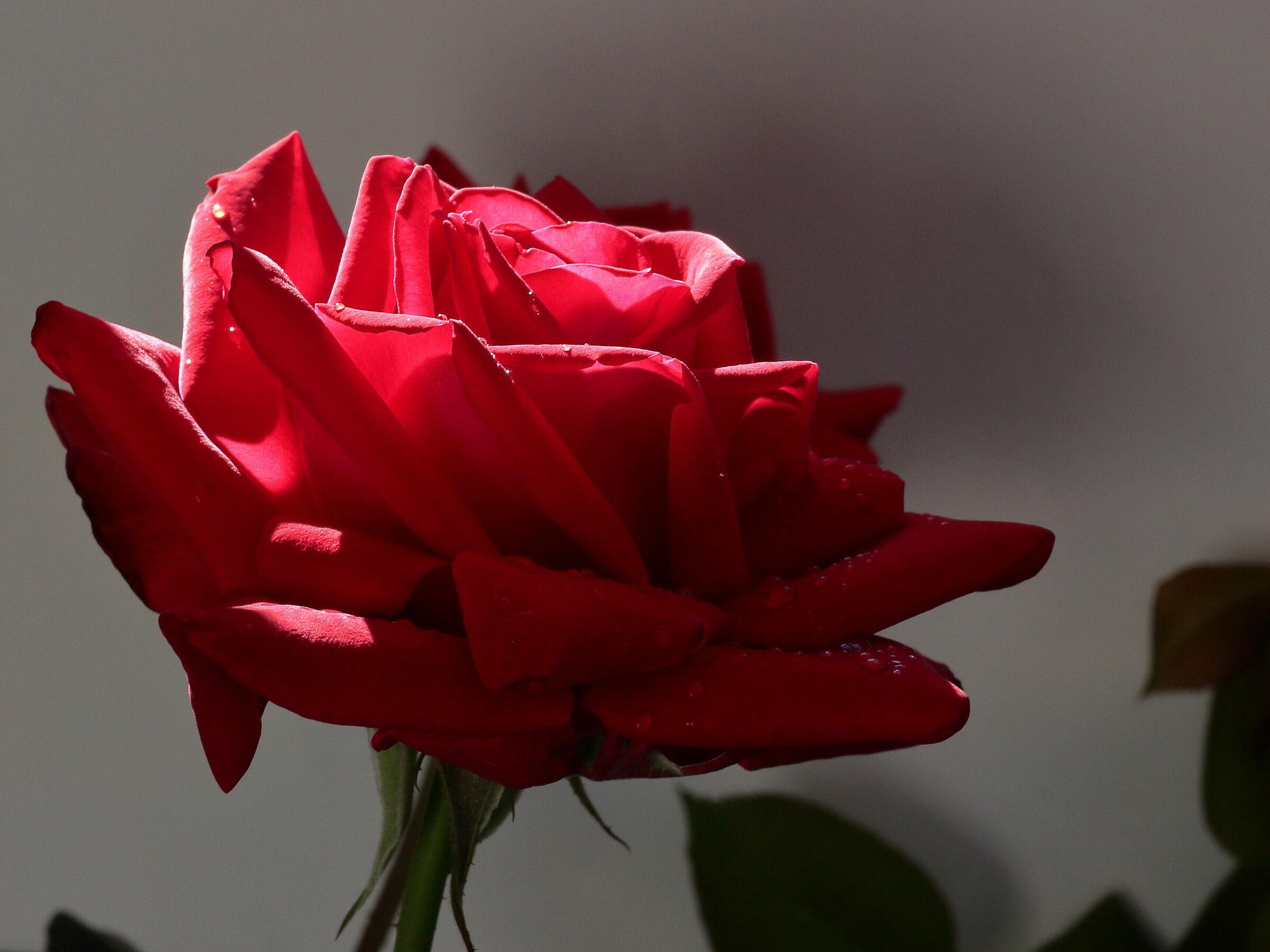 La regina dei fiori 3...