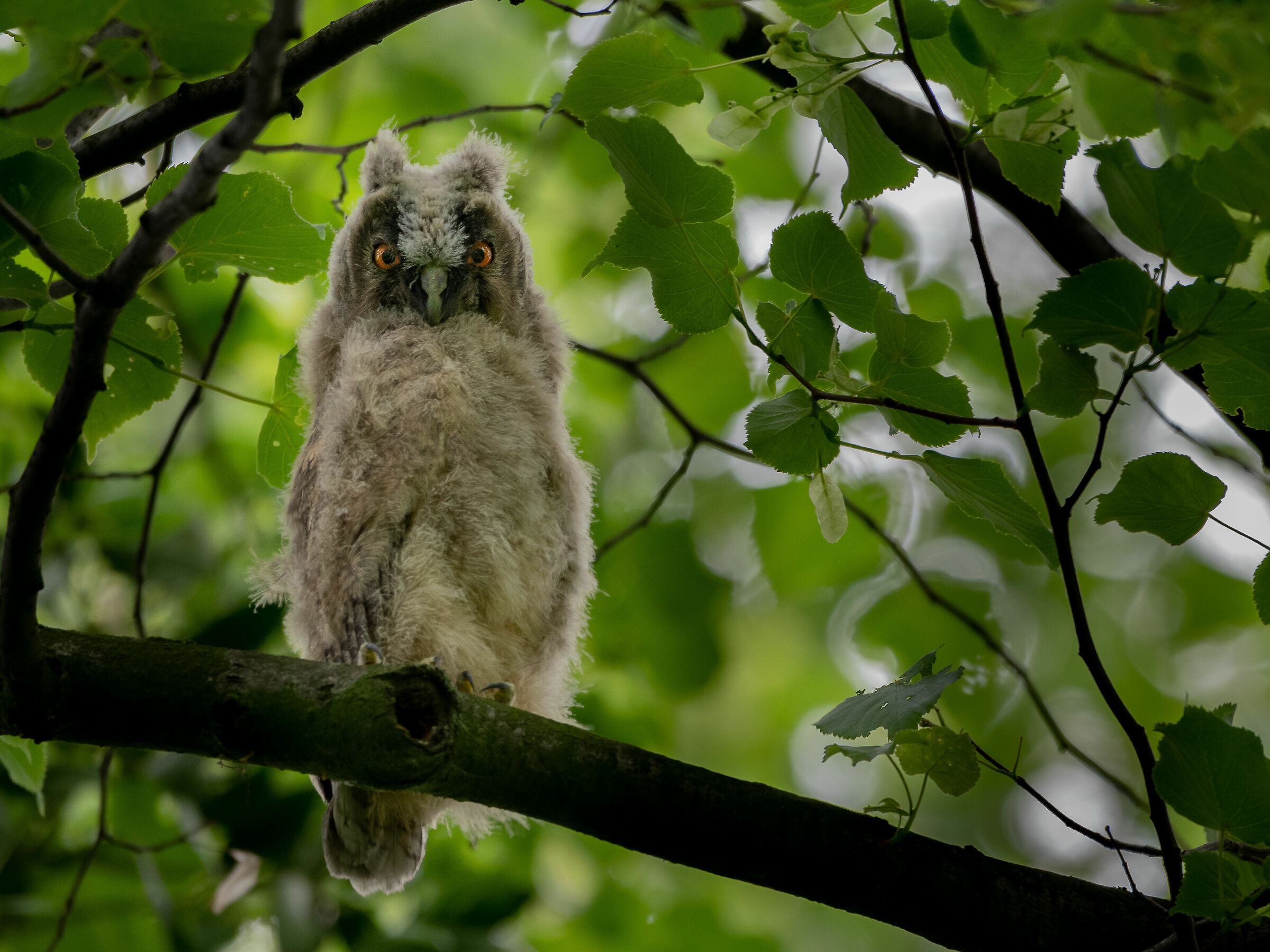 Long-eared Owl (Asio otus)...
