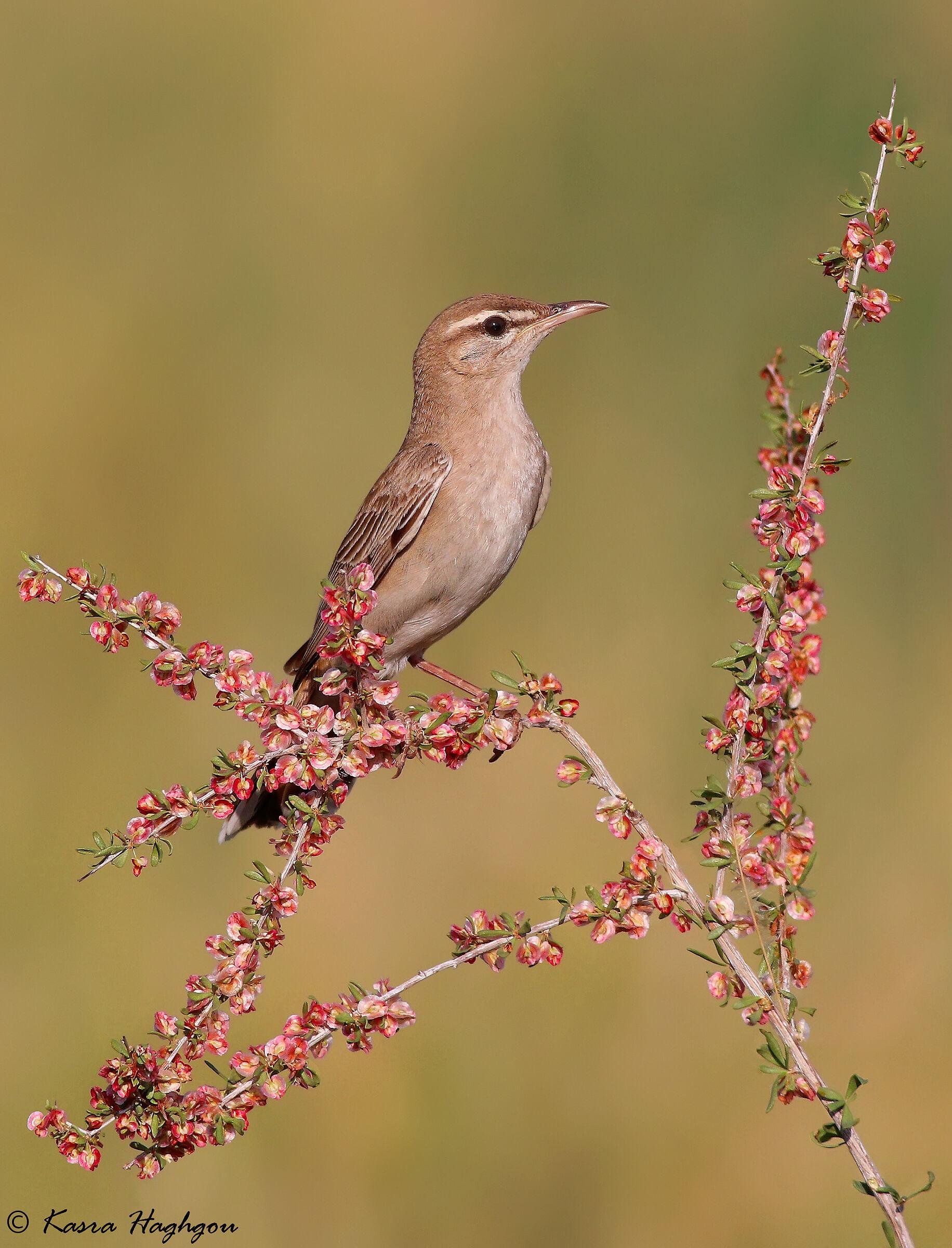 Rufous-tailed scrub robin...