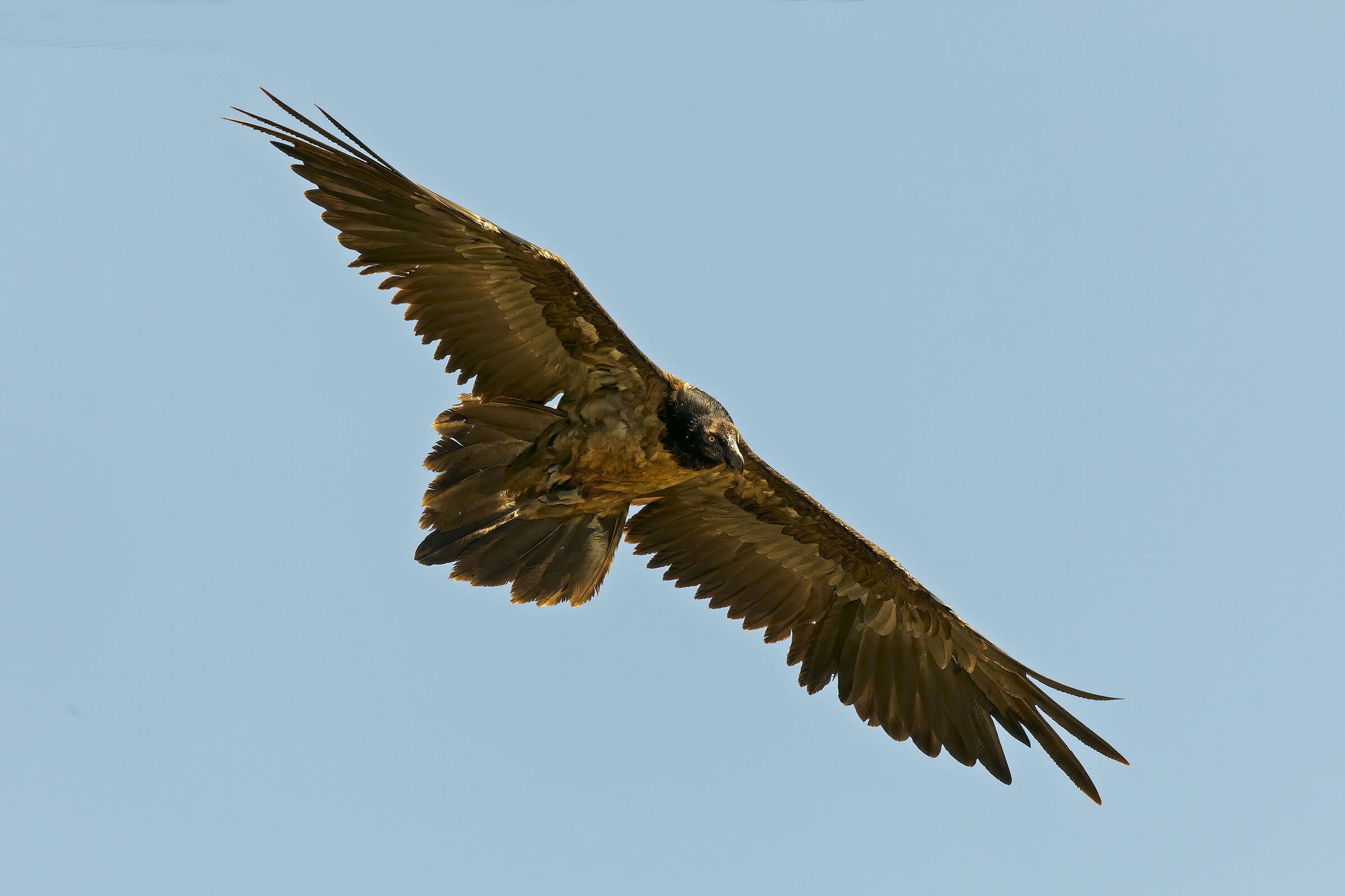 Young Bearded Vulture...