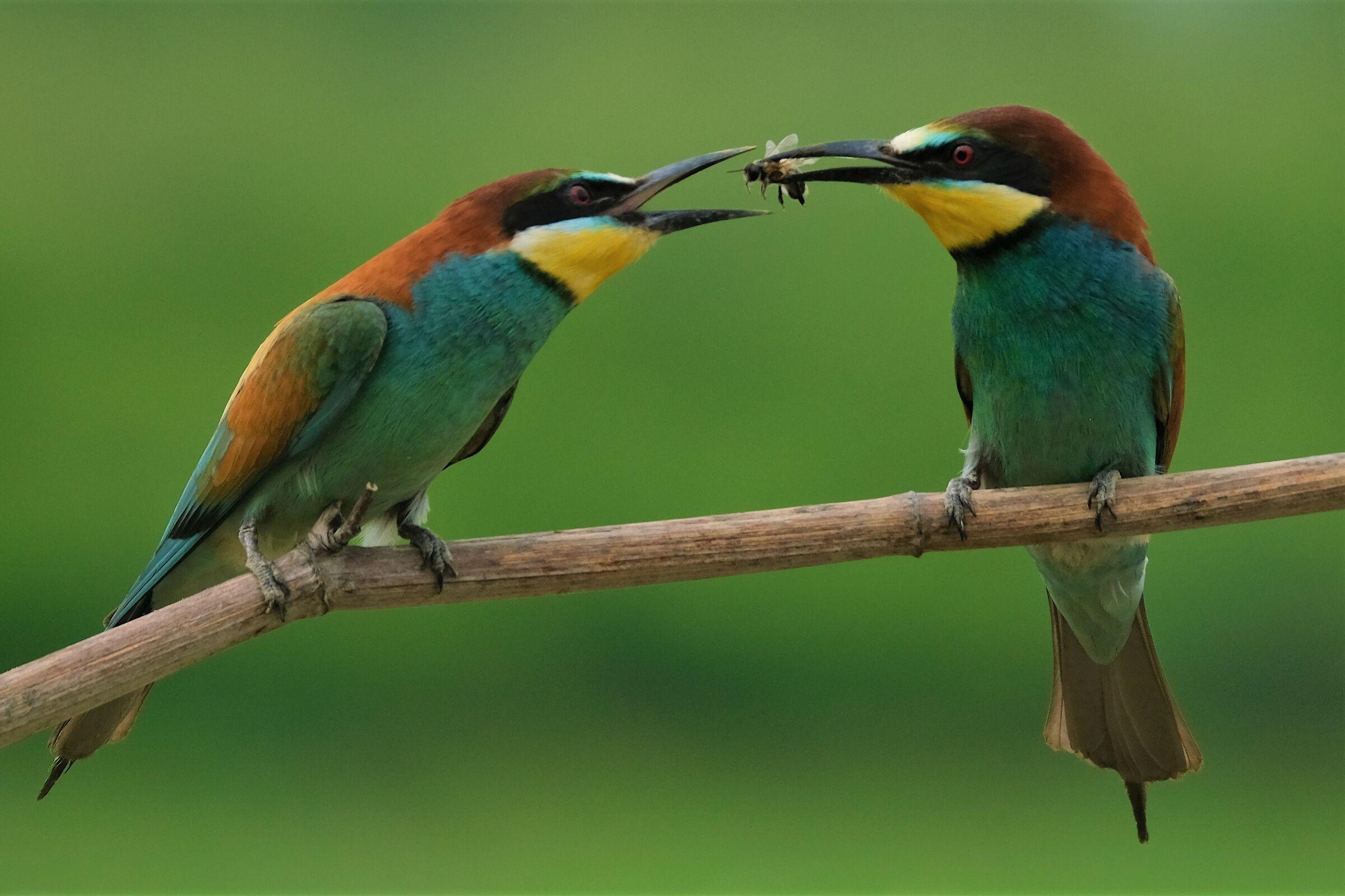 Gift among Bee-eaters...
