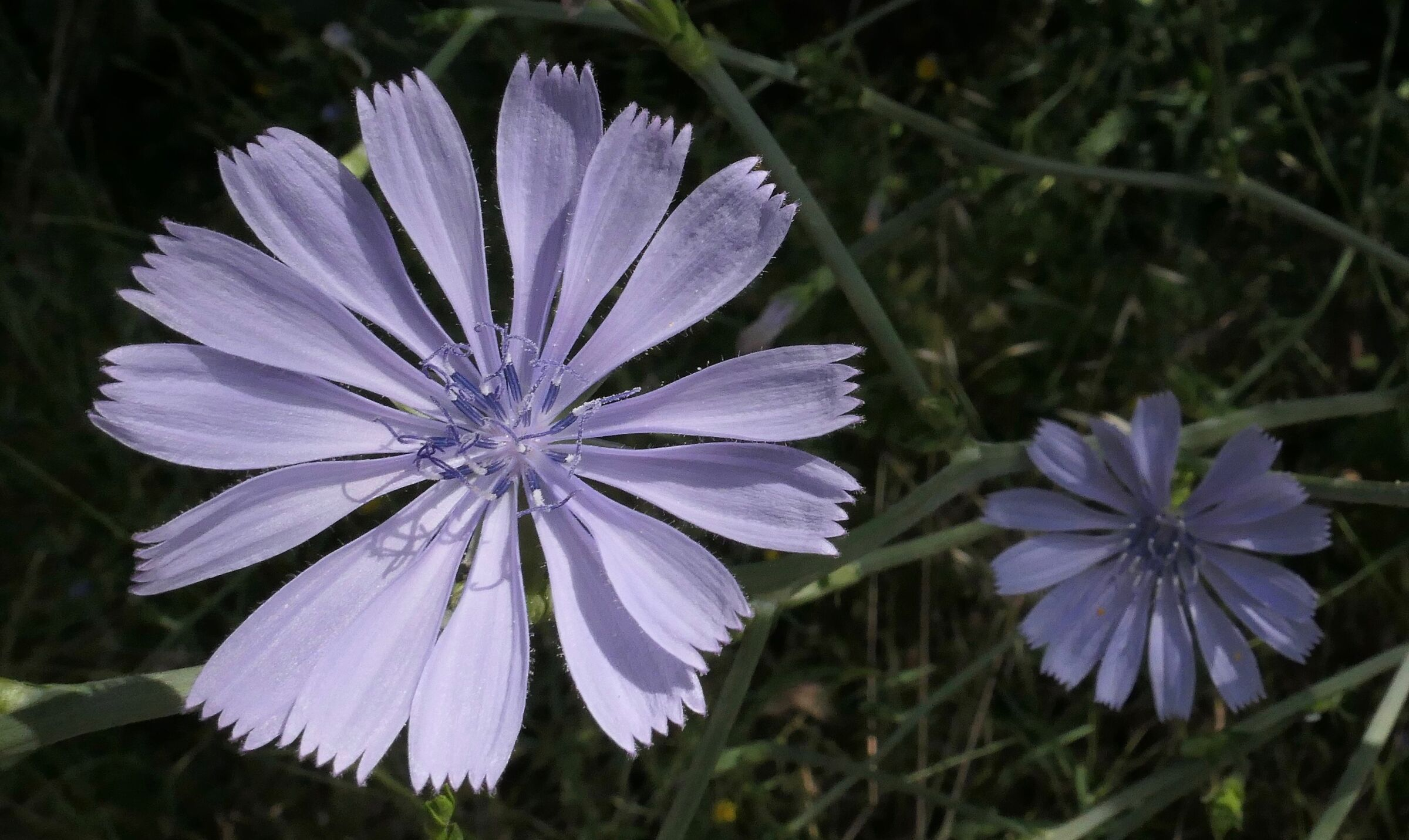 fiore di Cicoria selvatica...