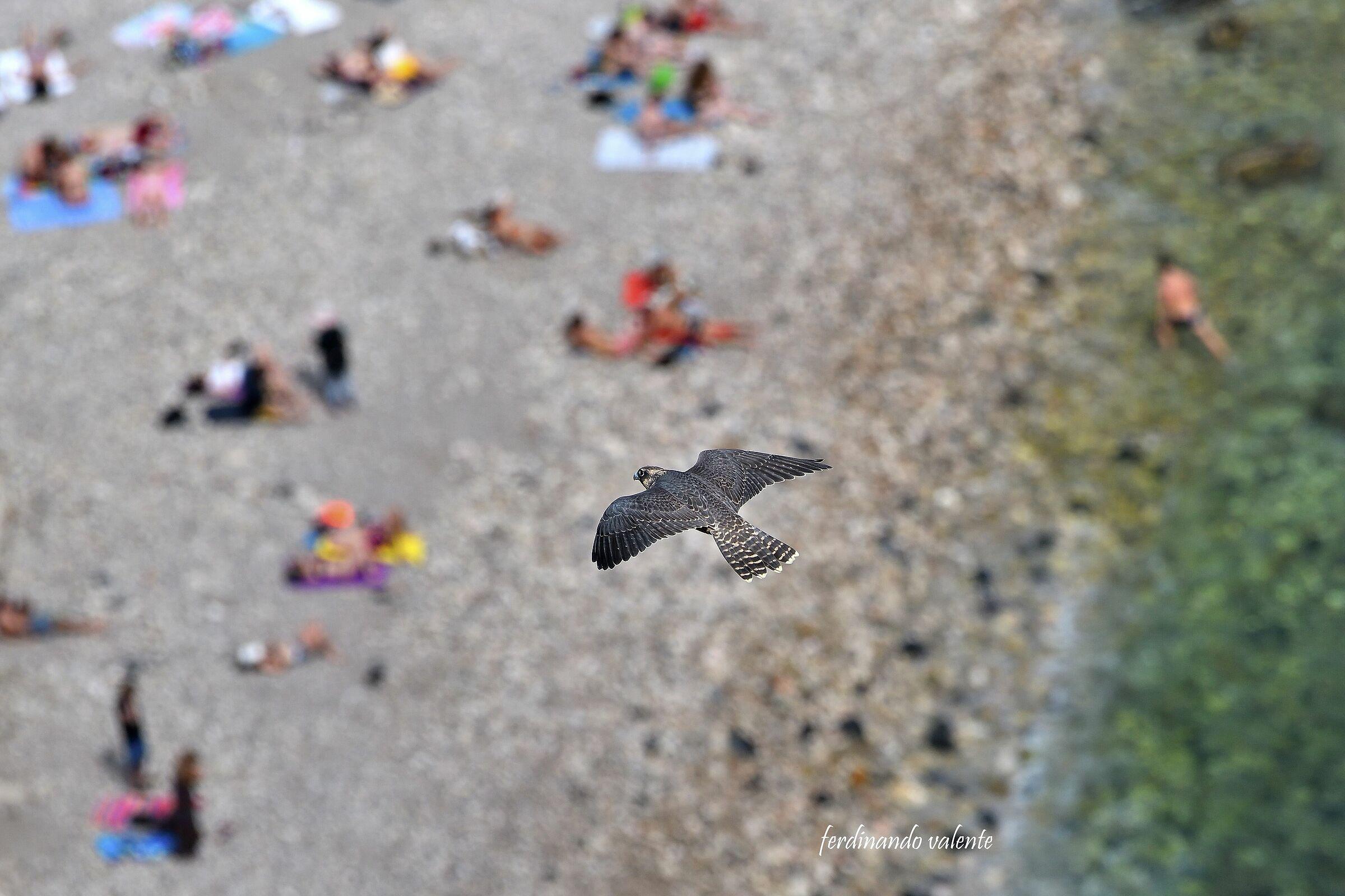 Peregrine Falcon Island Bella Taormin...