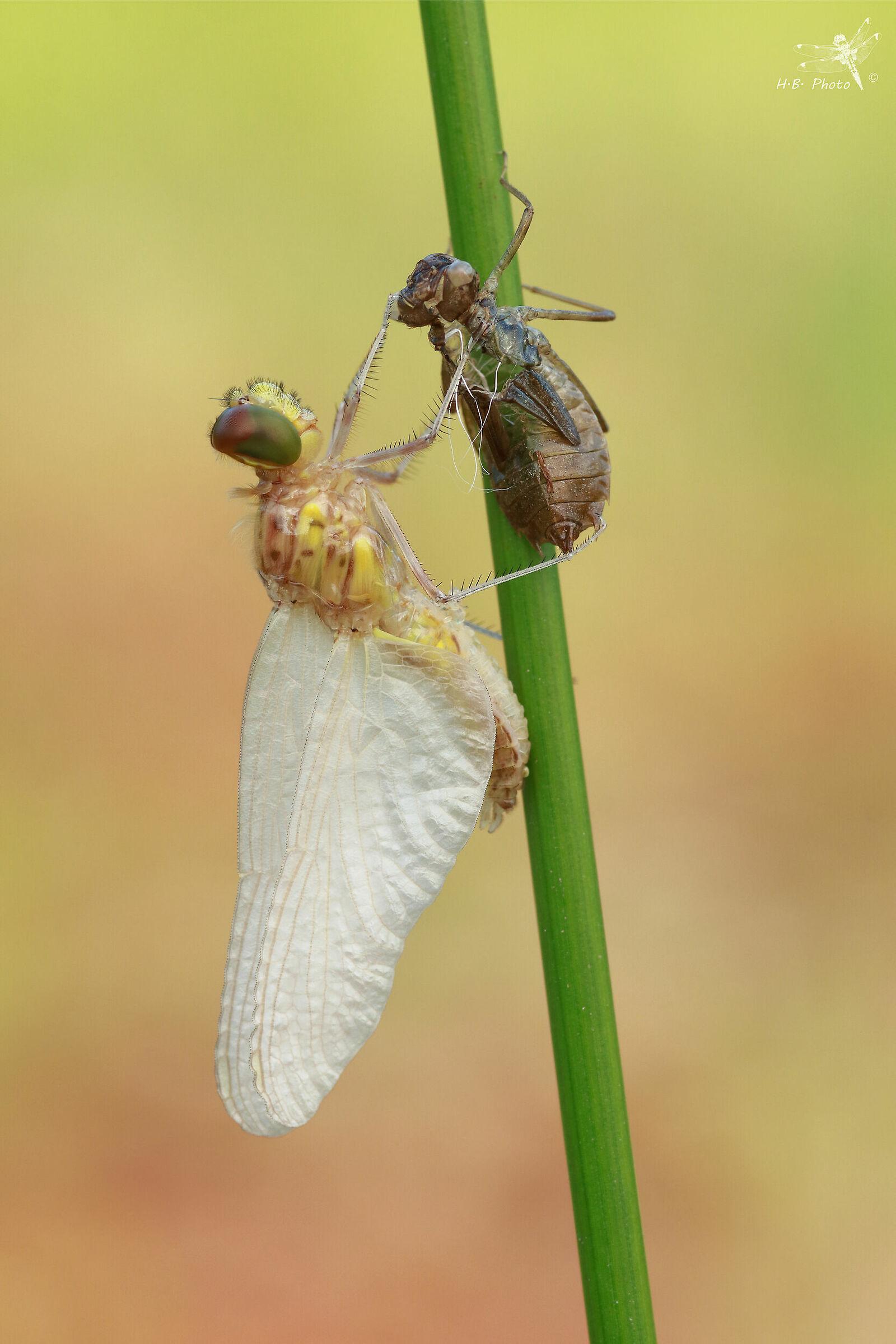 Sympetrum sanquineum, male, newborn...