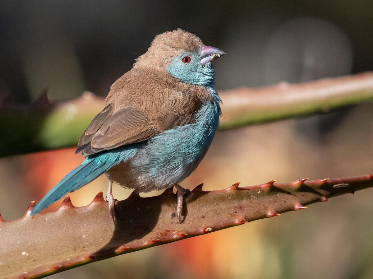 Blue Waxbill...