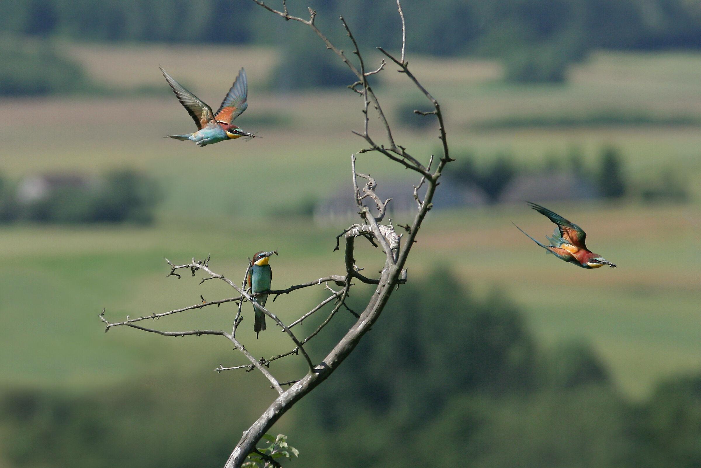 Zolny 1 (Merops apiaster)...