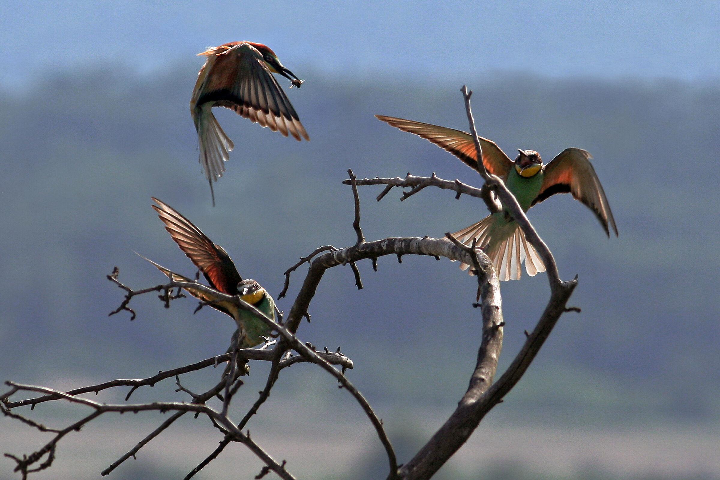 Zolny 2 (Merops apiaster)...