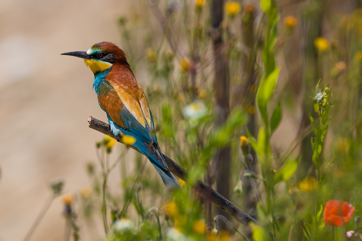 Bee-eater and flowers...