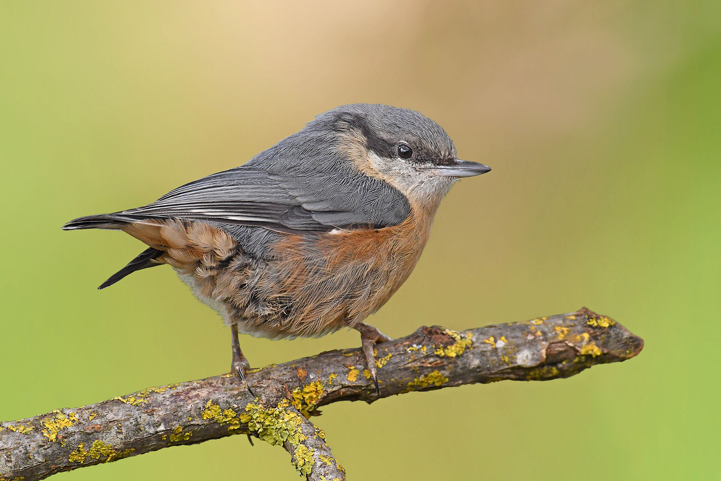 Stories of Feathers (young Nuthatch)...