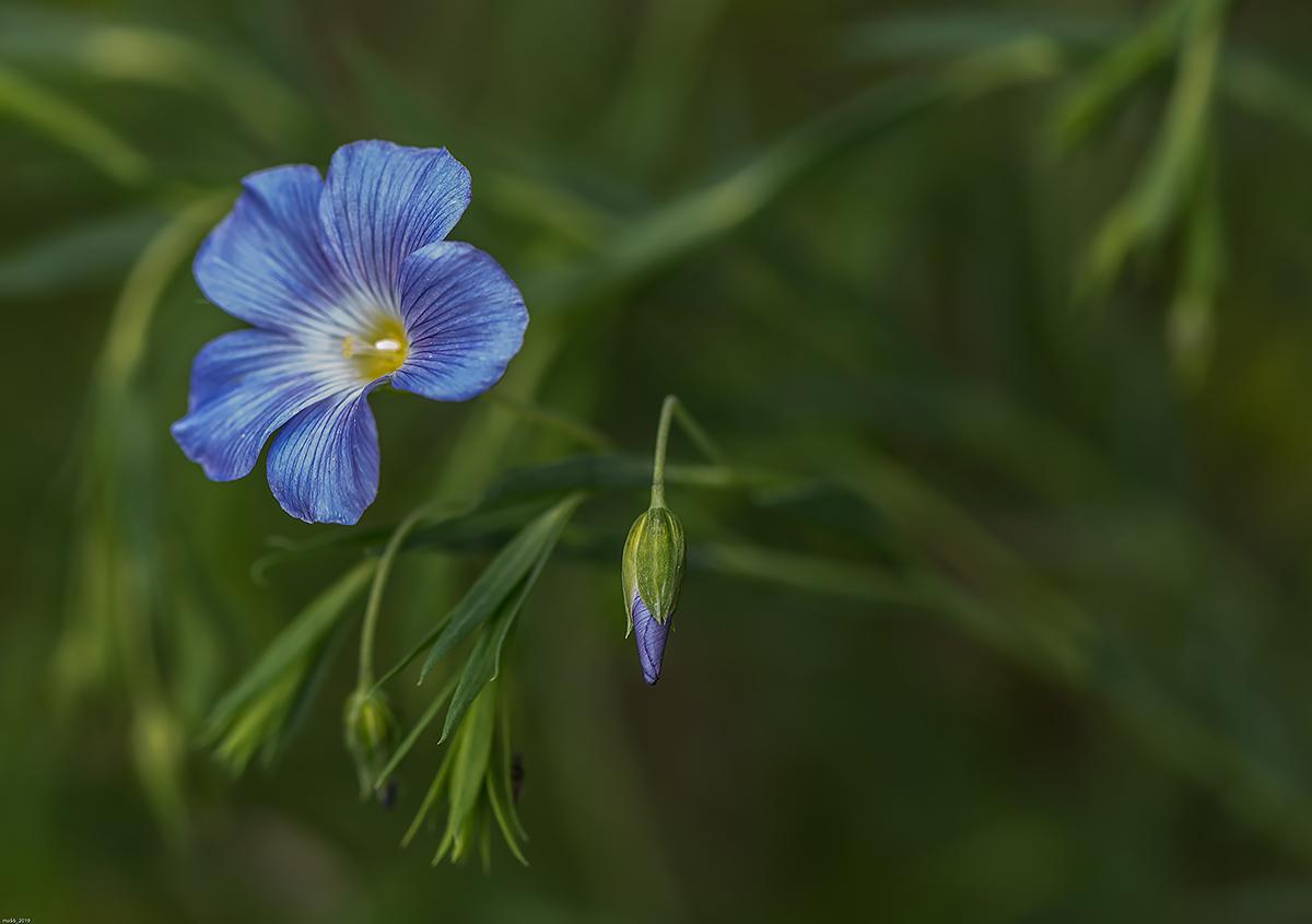 Celestial Flax...