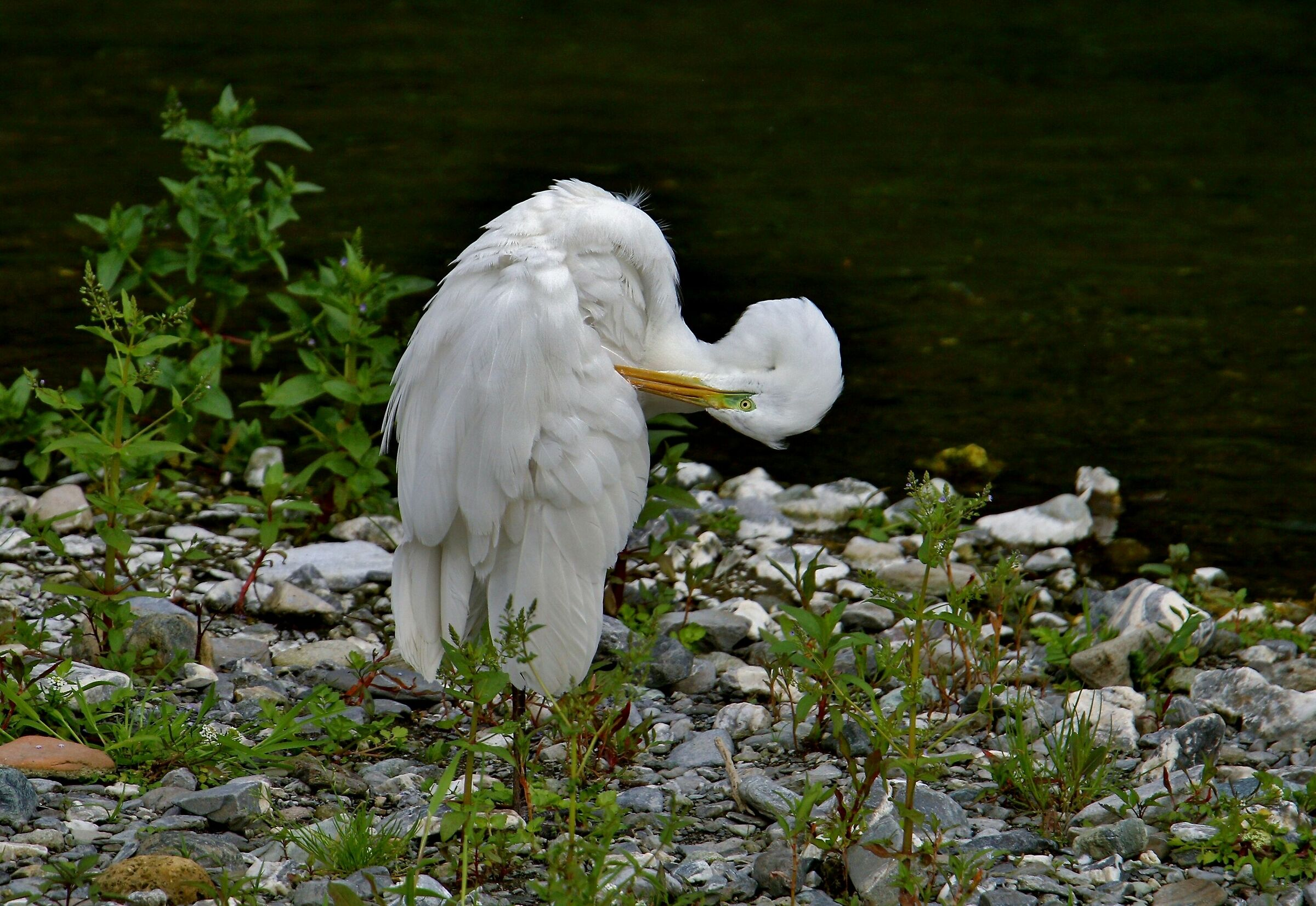 White Heron contortionist...