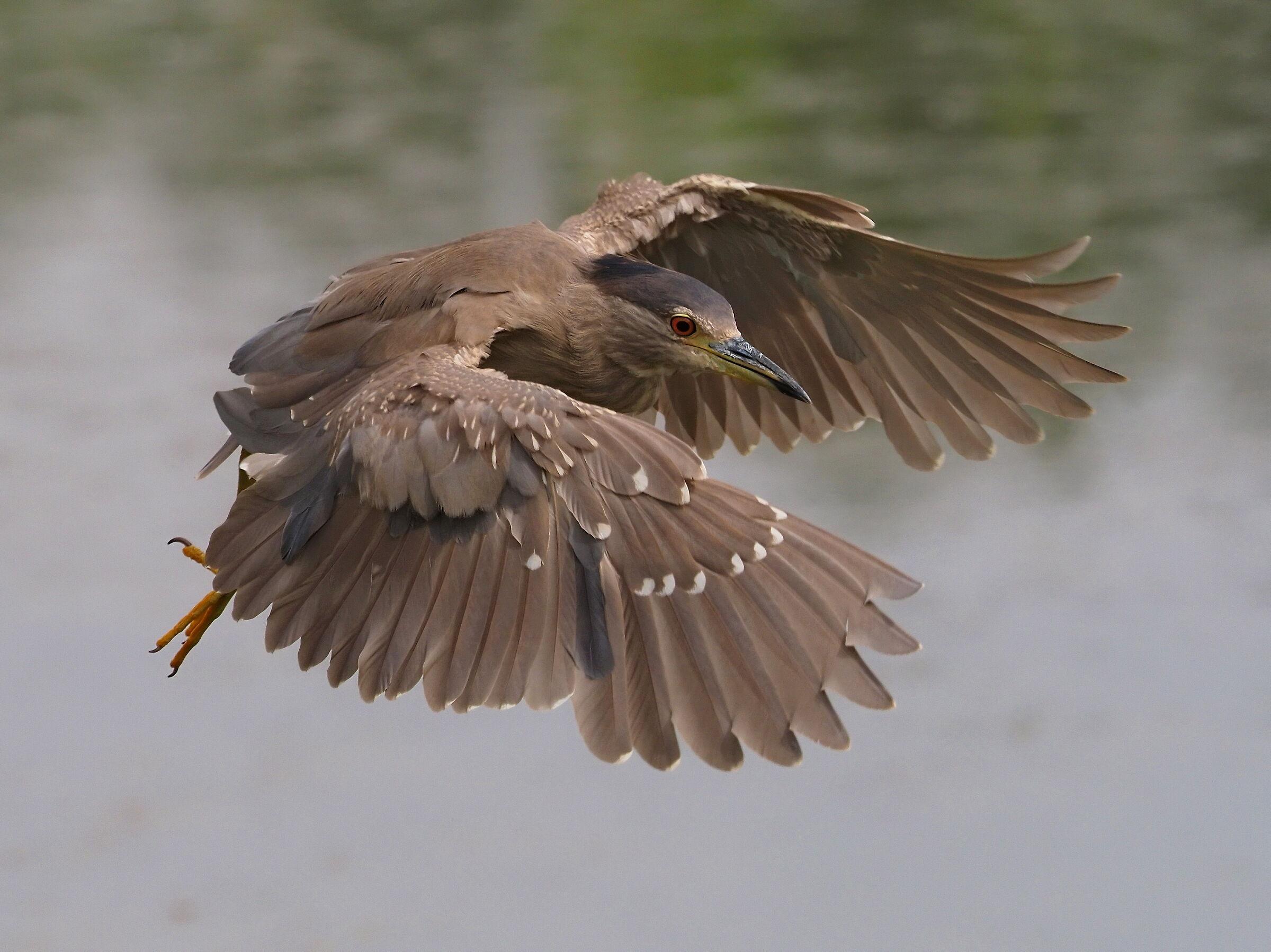 Night Heron ...