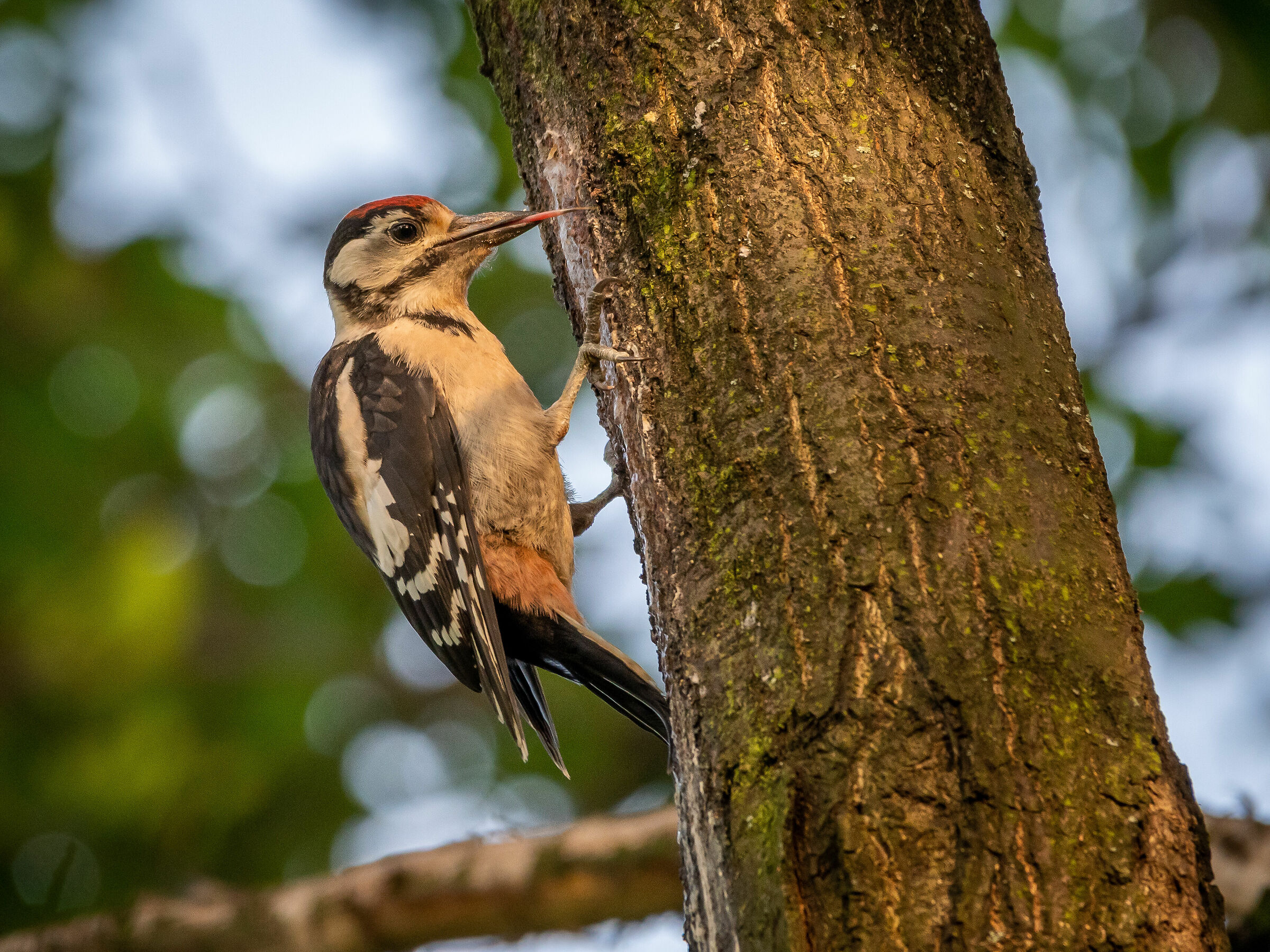 Great Spotted Woodpecker (Dendrocopos major)...